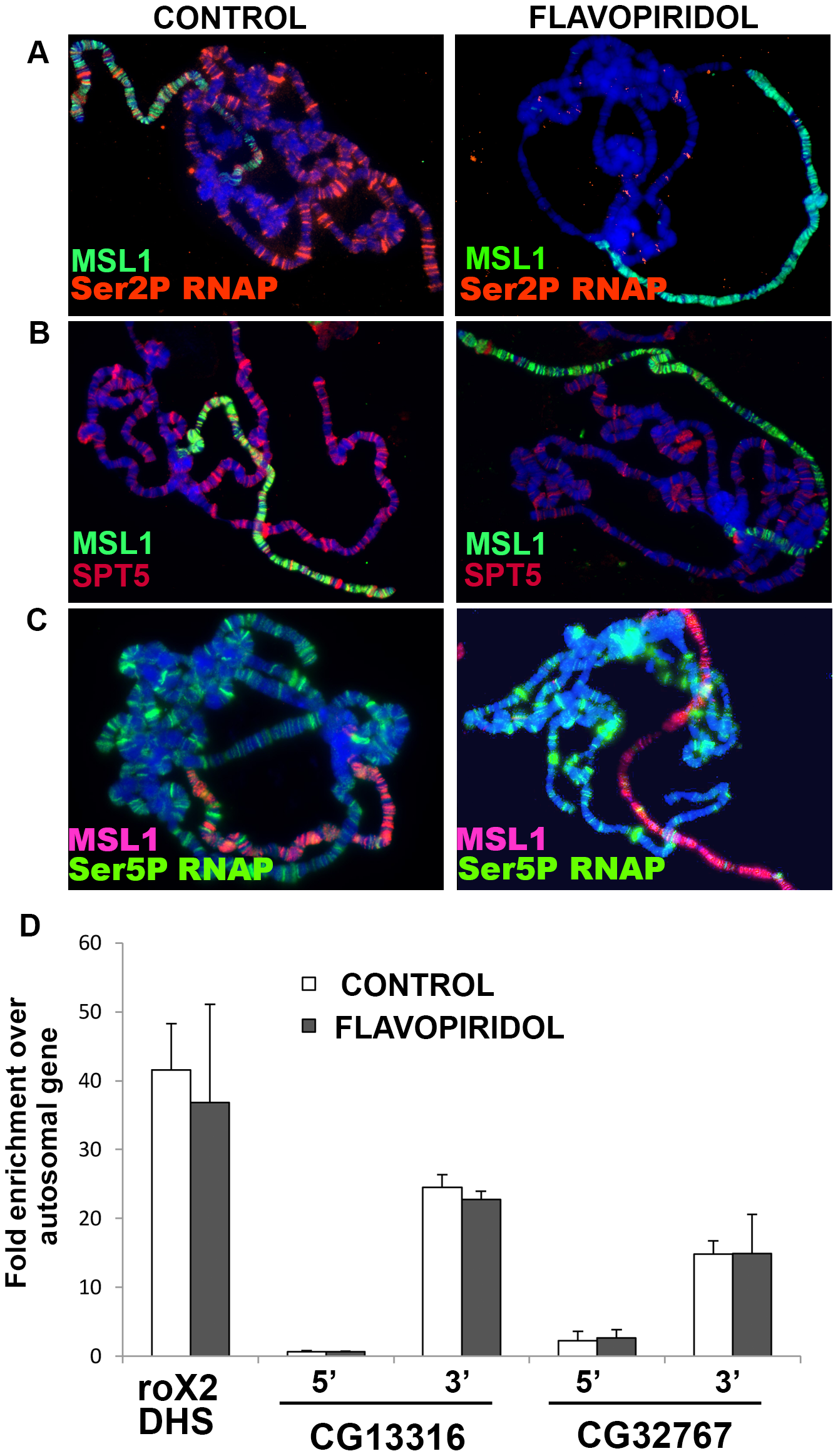 MSL complex binding to X-chromosome is not dependent on actively elongating RNA polymerase.