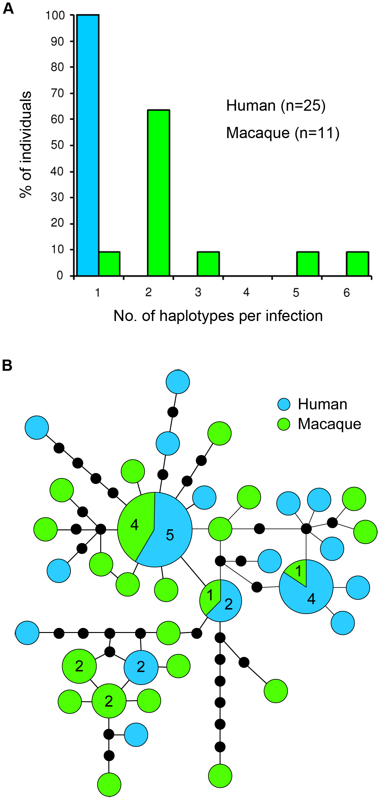 Diversity and haplotype network of <i>P. knowlesi</i> mtDNA genome.