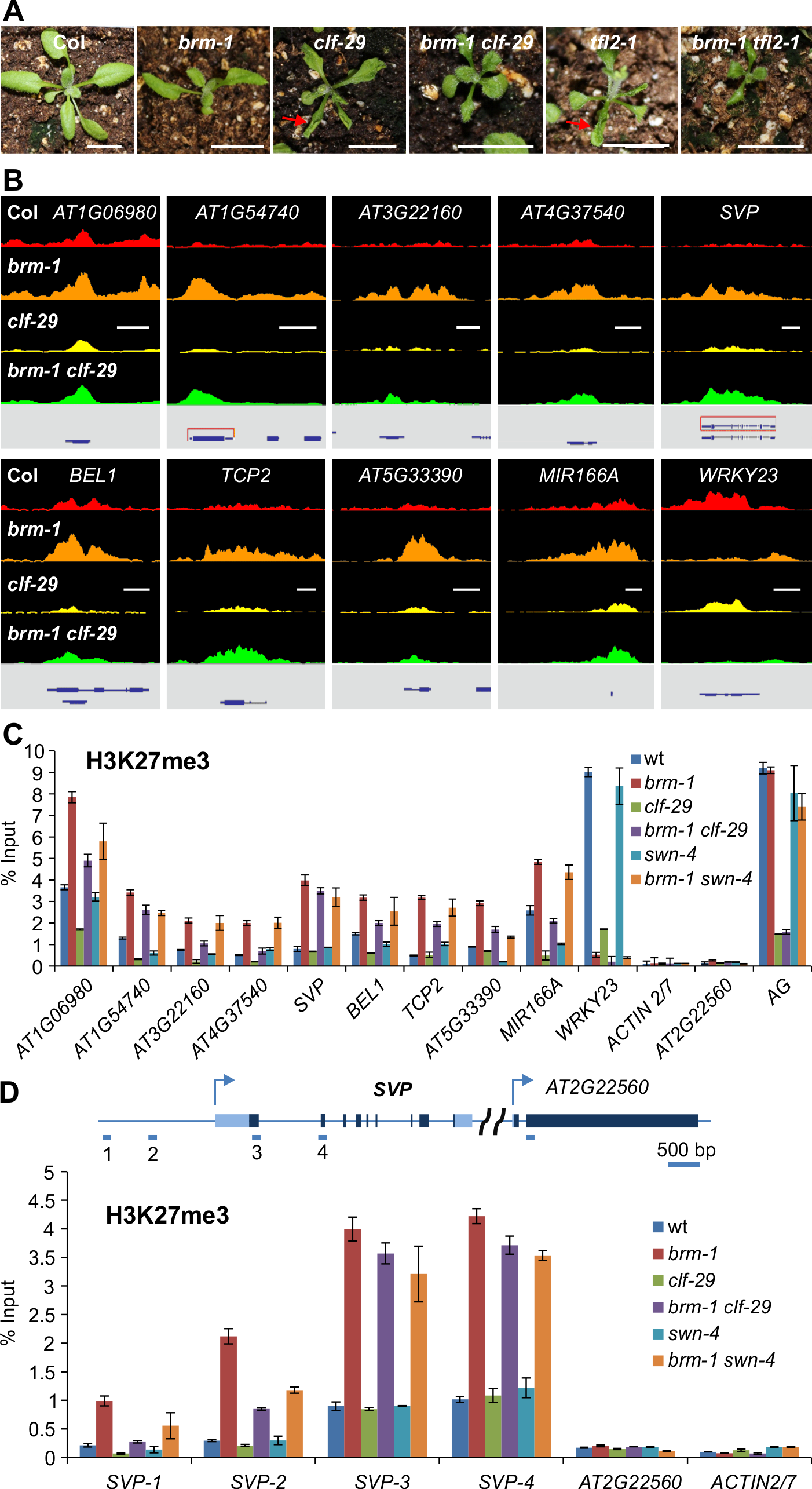Removal of CLF or SWN activity in <i>brm</i> background results in a substantial decrease of H3K27me3 deposition.