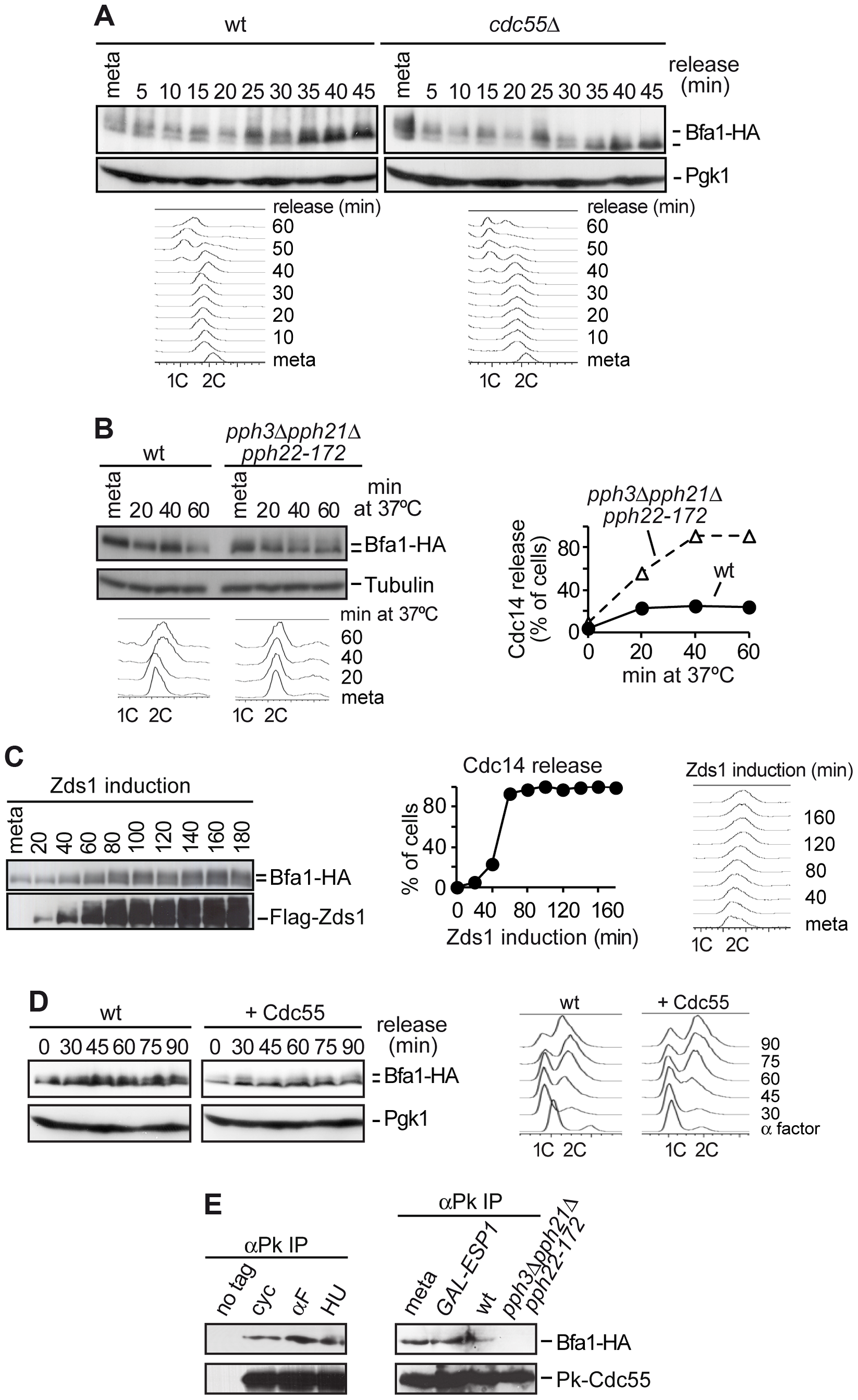 PP2A<sup>Cdc55</sup> counteracts Bfa1 phosphorylation.