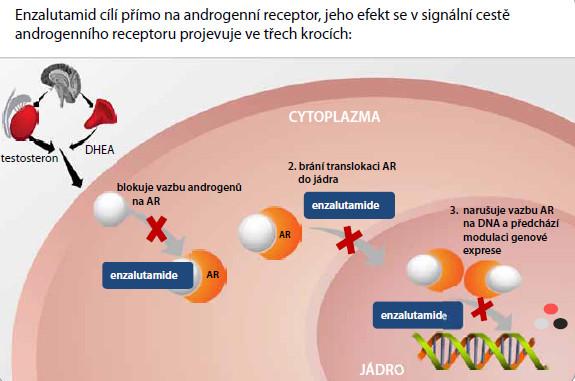 Mechanizmus účinku enzalutamidu [4,5].