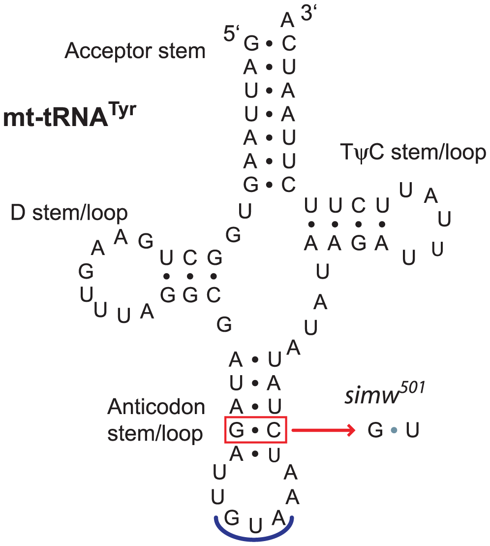 A mtDNA polymorphism in the <i>D. simulans</i> mt-tRNA<sup>Tyr</sup> anticodon stem.