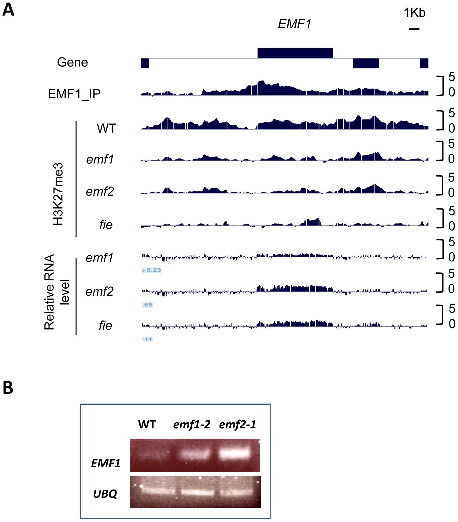 PcG-mediated EMF1 autoregulation.