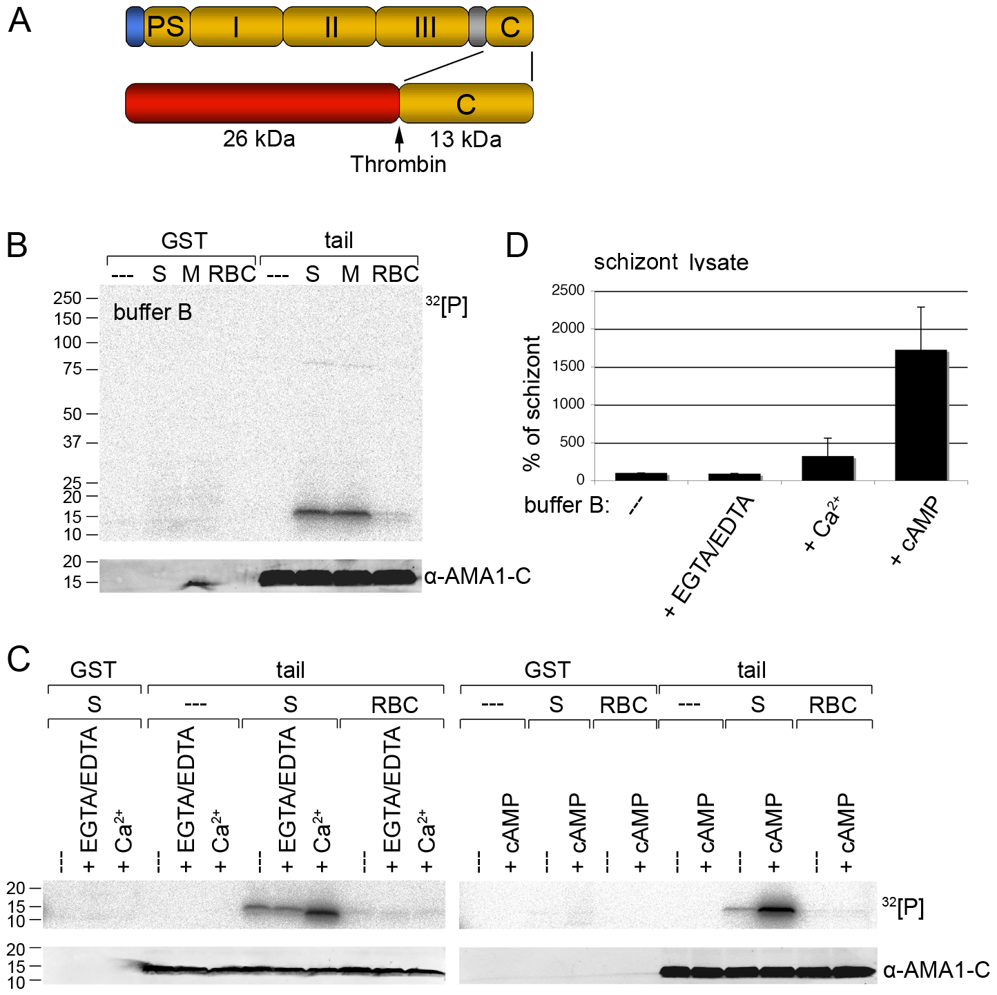 Recombinant AMA1 C-terminal tail is phosphorylated <i>in vitro</i> by <i>P. falciparum</i> (3D7 line) parasite lysates in a calcium and cAMP dependent manner.