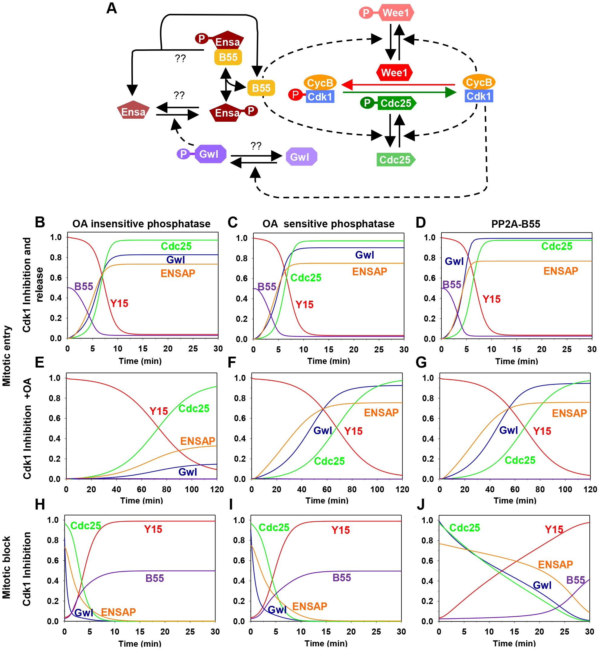 The regulatory network and the dynamics of the mitotic switch.