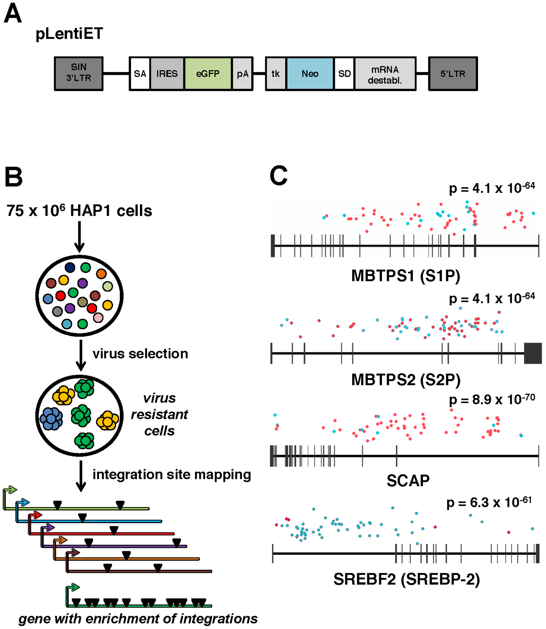 A forward genetic screen in human haploid cells identifies MBTPS1, MBTPS2, SCAP, and SREBF2 as required for ANDV infection.