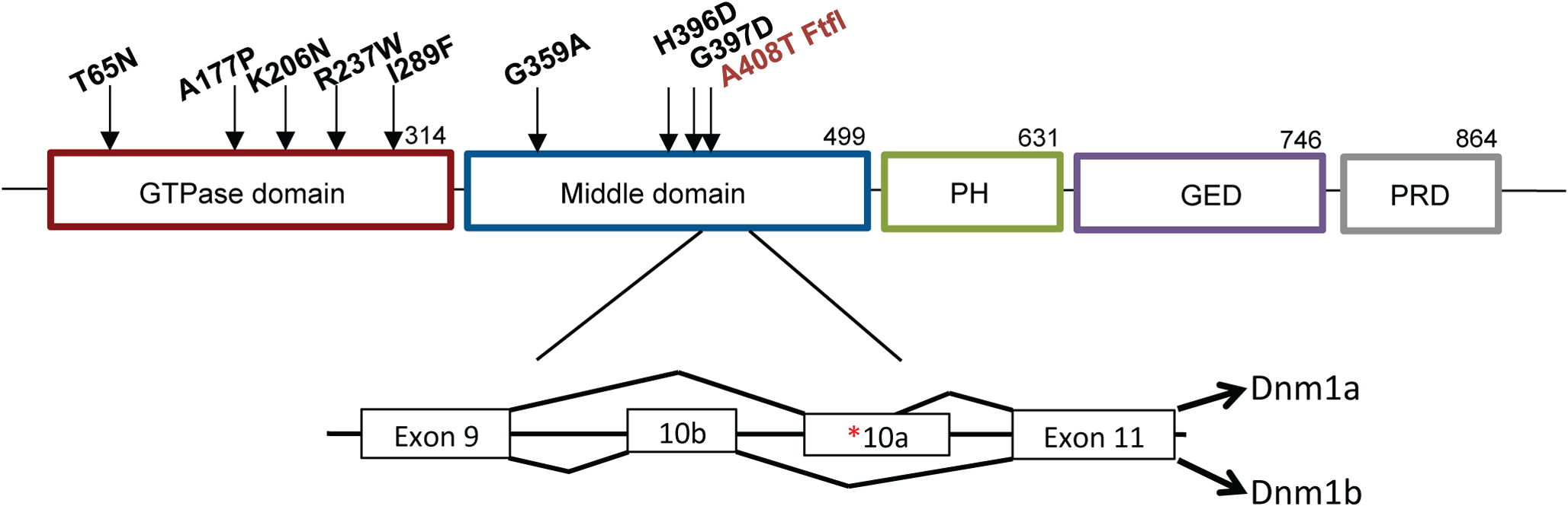 Structure of DNM1.