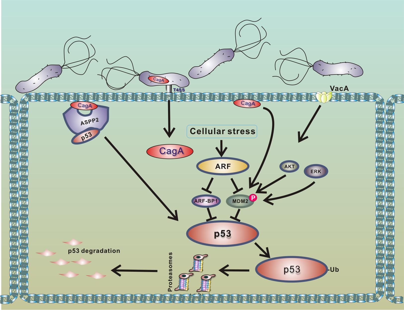 Model of p53 down-regulation by <i>H</i>. <i>pylori</i>.