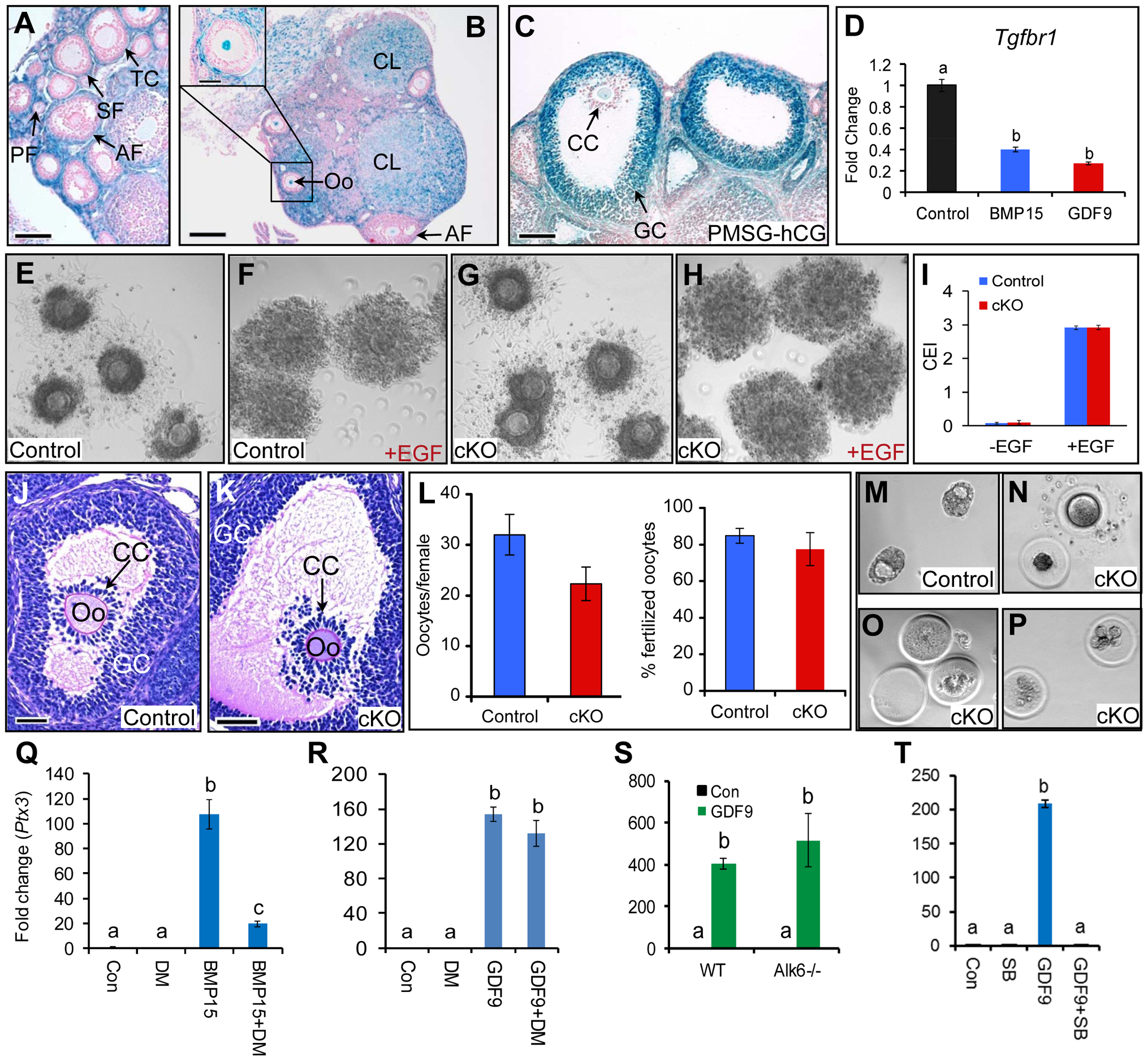 Cellular distribution and functional characterization of TGFBR1 in mouse ovary.