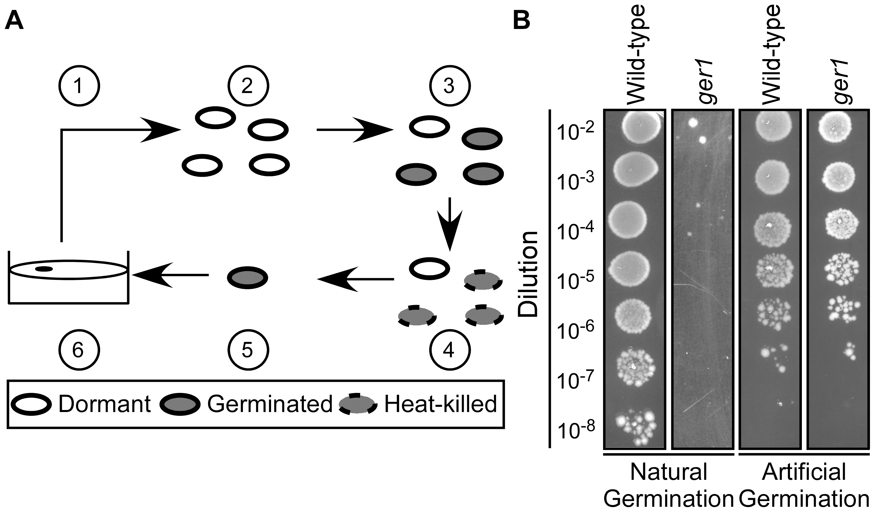 Isolation of <i>C.</i> <i>difficile</i> germination-null mutants.