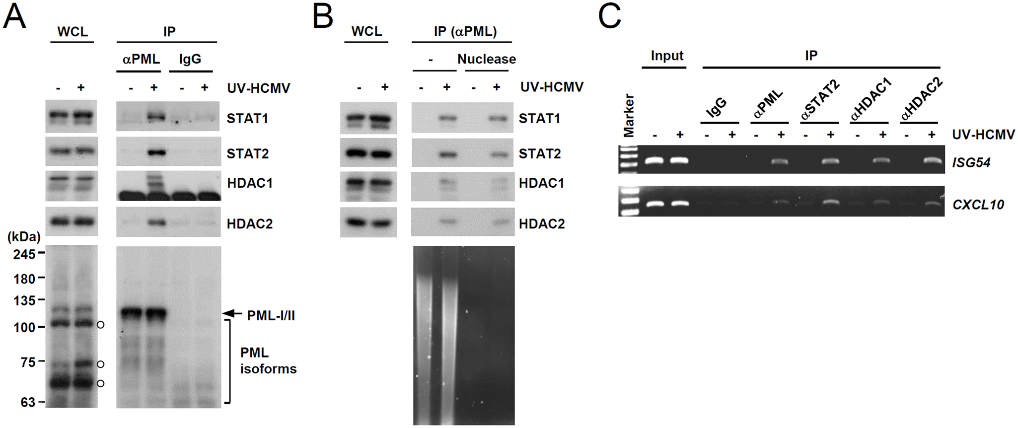 Association of PML with STAT1, STAT2, and HDAC1 on ISG54 and CXCL10 promoters after UV-HCMV infection.