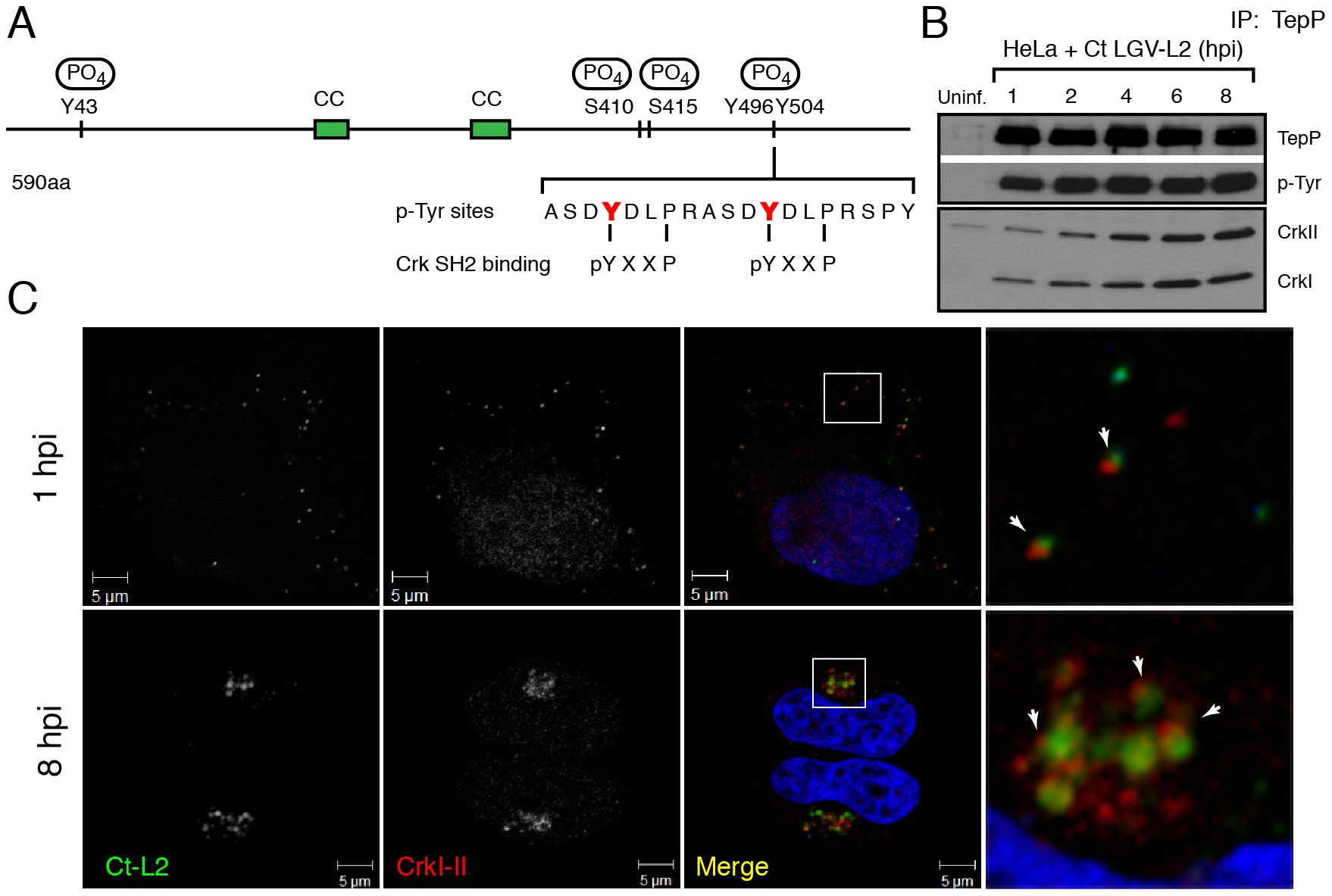 Crk-I and Crk-II bind to tyrosine-phosphorylated TepP and are recruited to nascent inclusions early during infection.