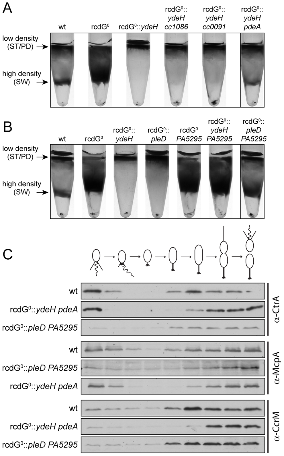Redundant enzymes facilitate c-di-GMP fluctuations during the cell cycle.