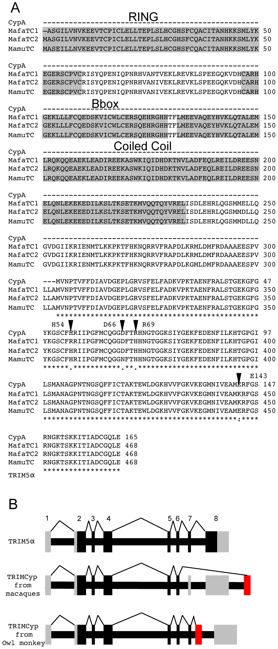 Sequence comparison of CypA and TRIMCyps from <i>Macaca mulatta</i> and <i>Macaca fascicularis</i> reveal differences in the Cyp domain of species variants of TRIMCyps.