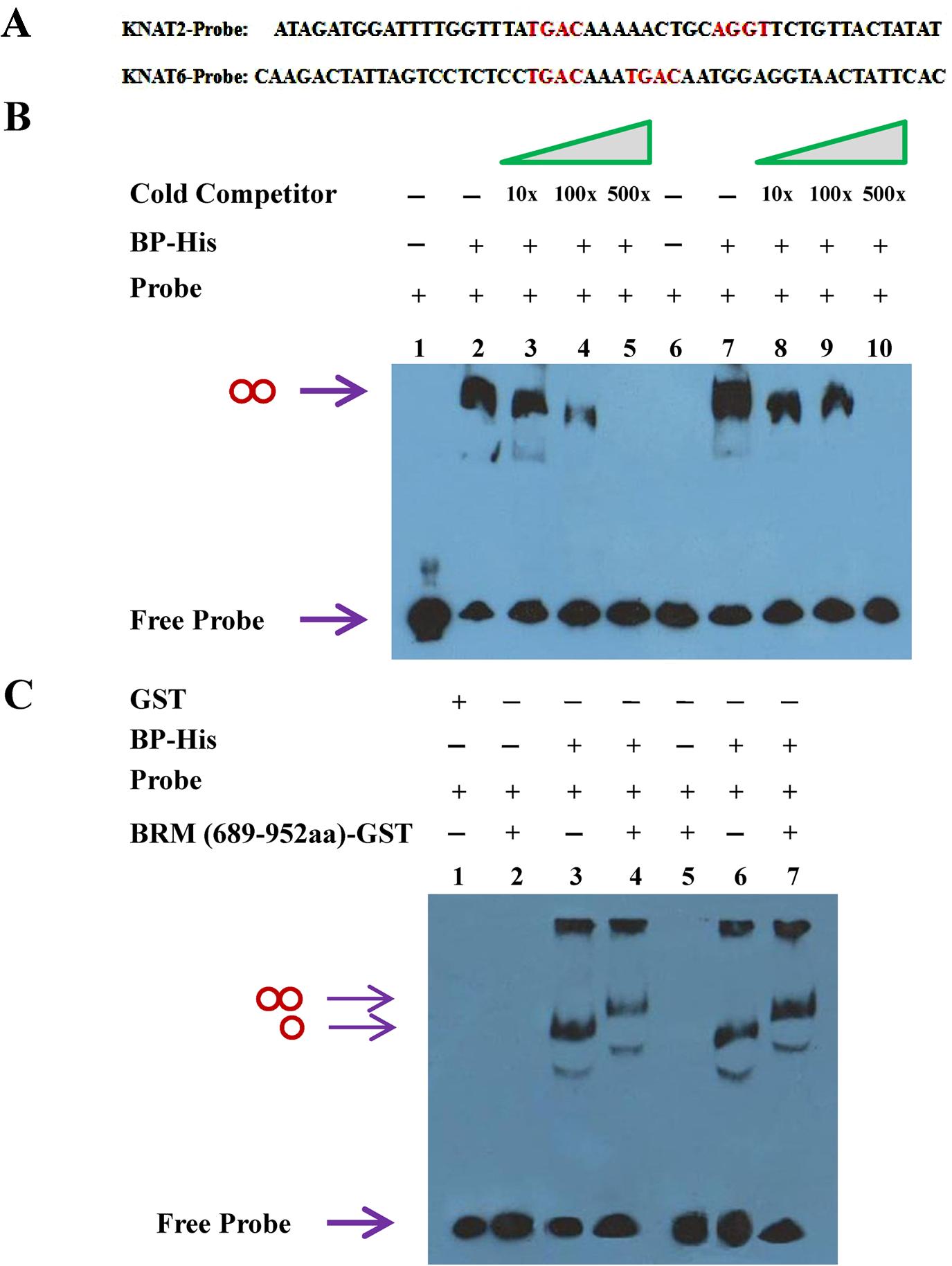 BP binds to <i>KNAT2</i> and <i>KNAT6 in vitro</i>.