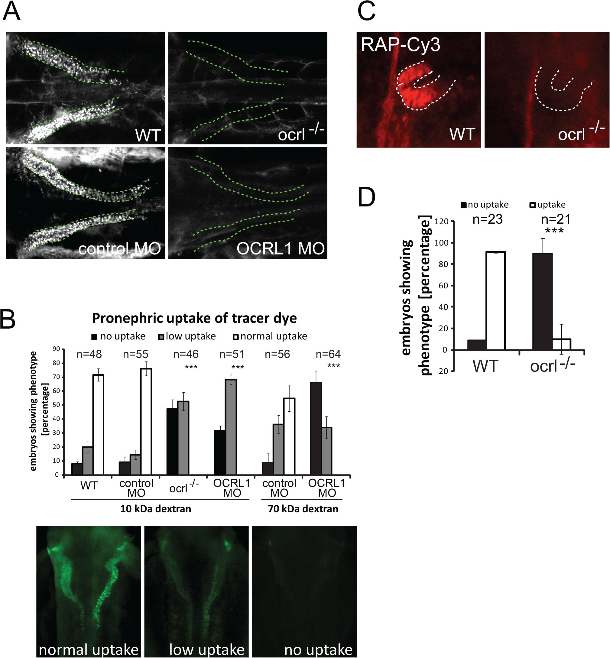 Impairment of pronephric uptake in OCRL1 deficient zebrafish embryos.