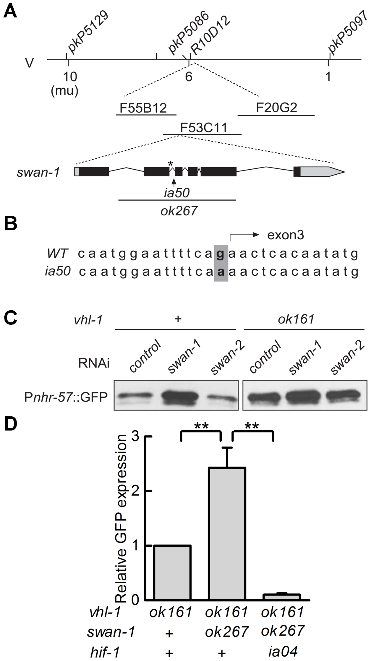 <i>ia50</i> is a loss of function mutation in the <i>swan-1</i> gene.