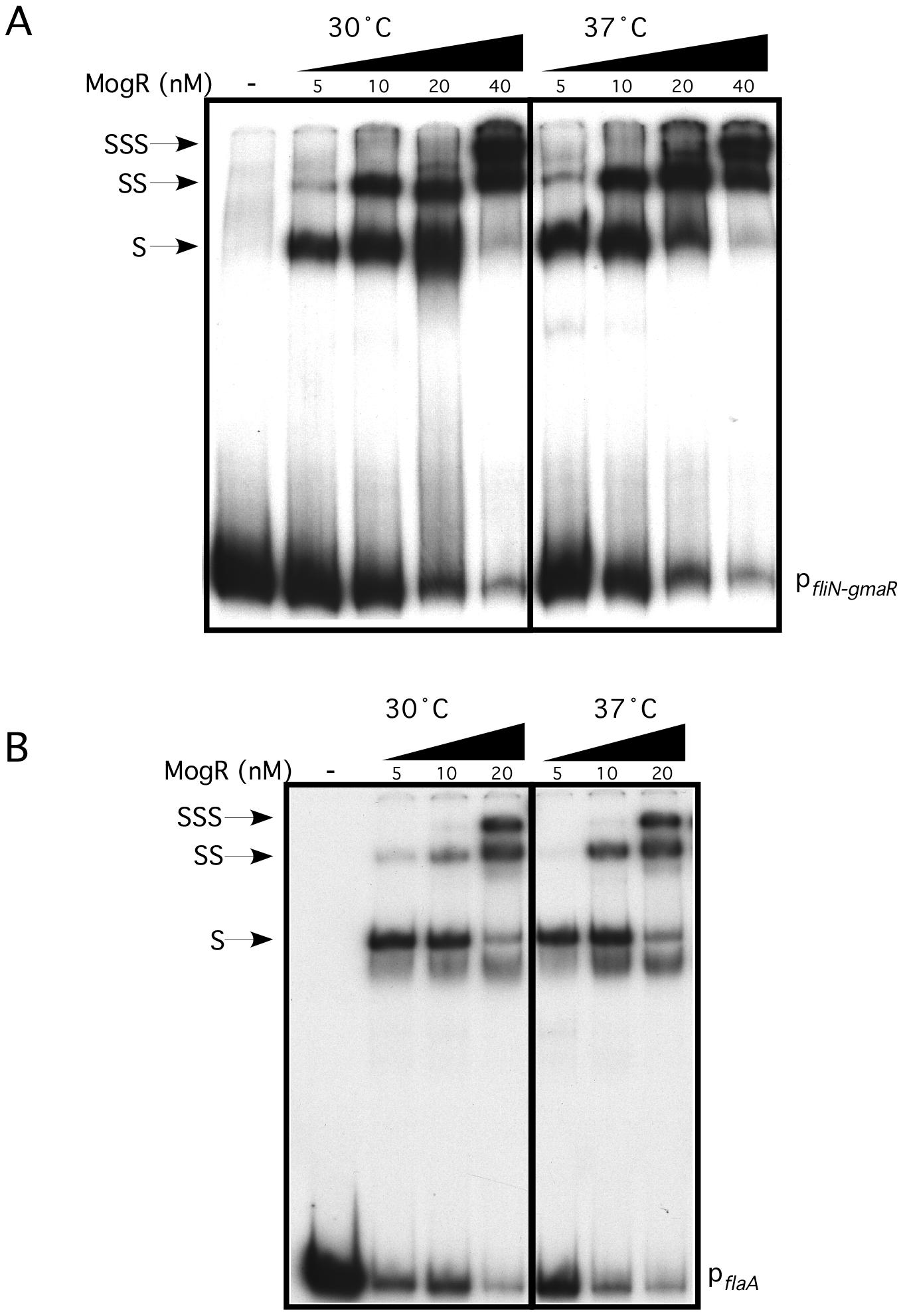MogR binds to flagellar gene promoter region DNA in a temperature-independent manner.