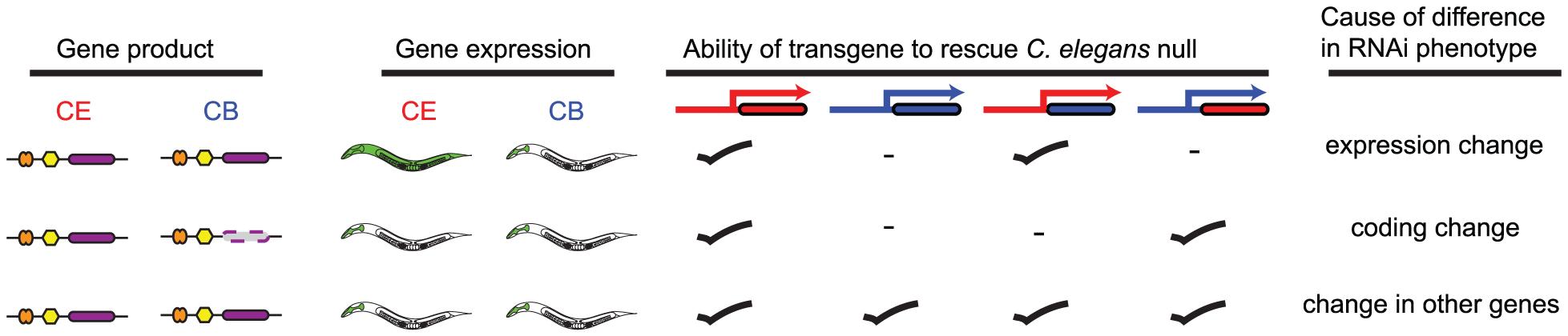 Schematic illustrating transgenic rescue approach.