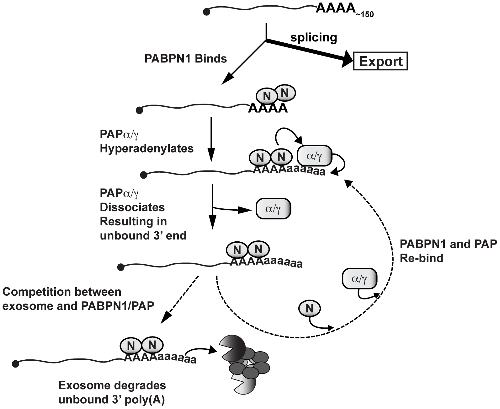 Model of PABPN1-mediated decay.