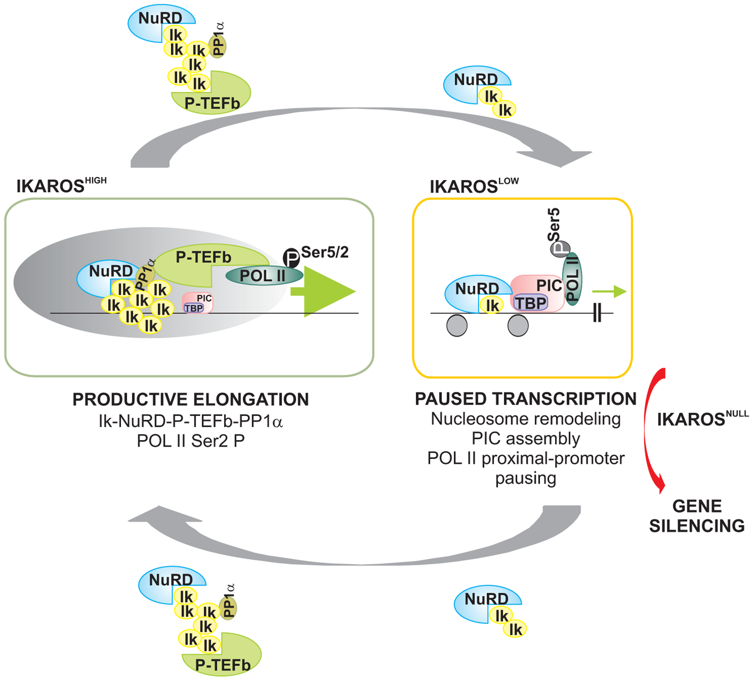 Model of IKAROS dosage effect for formation and recruitment of the NuRD-P-TEFb complex and transcription elongation control of IKAROS-target genes.