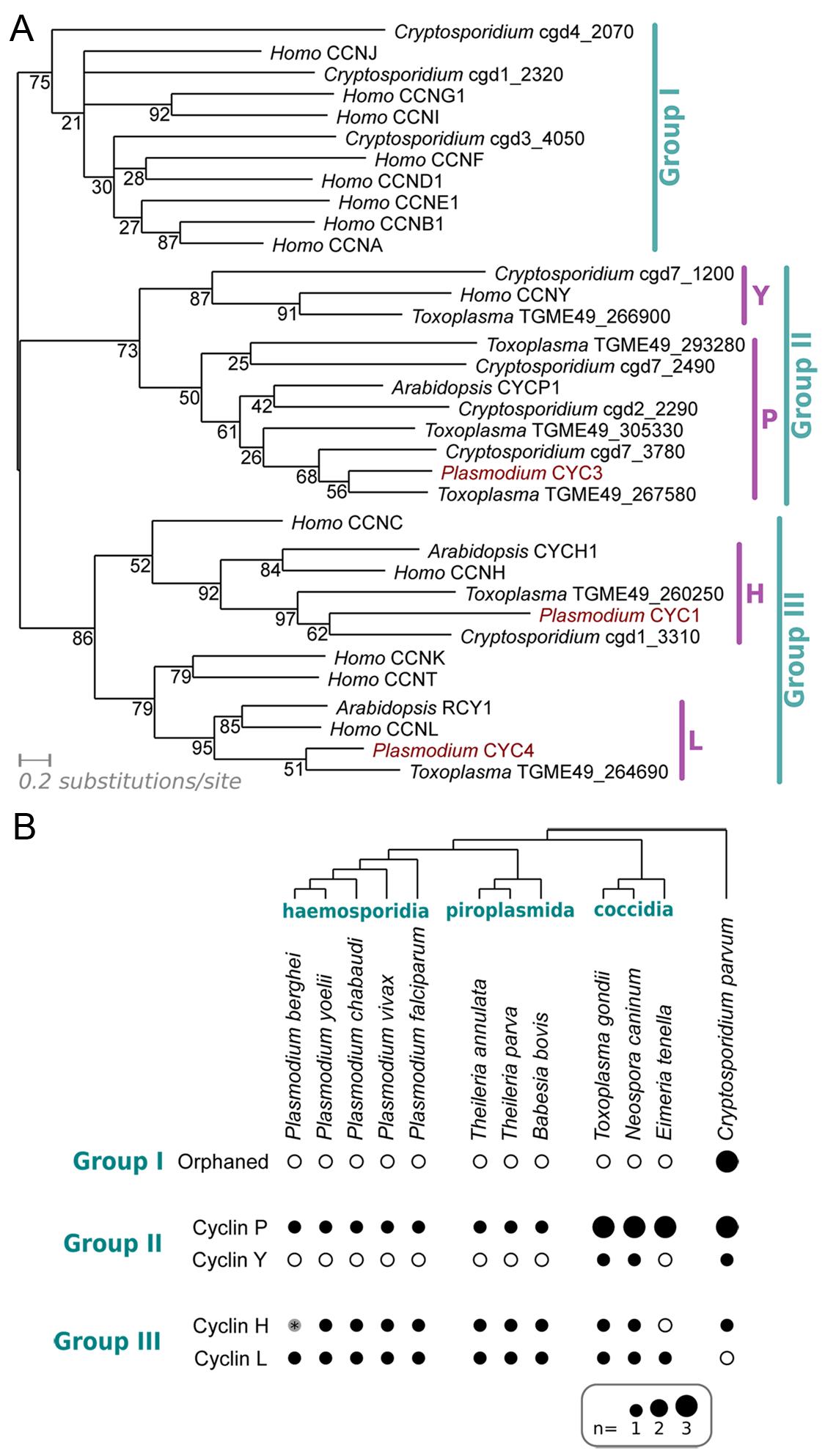 Characterisation of the cyclin repertoire of the <i>Apicomplexa</i>.