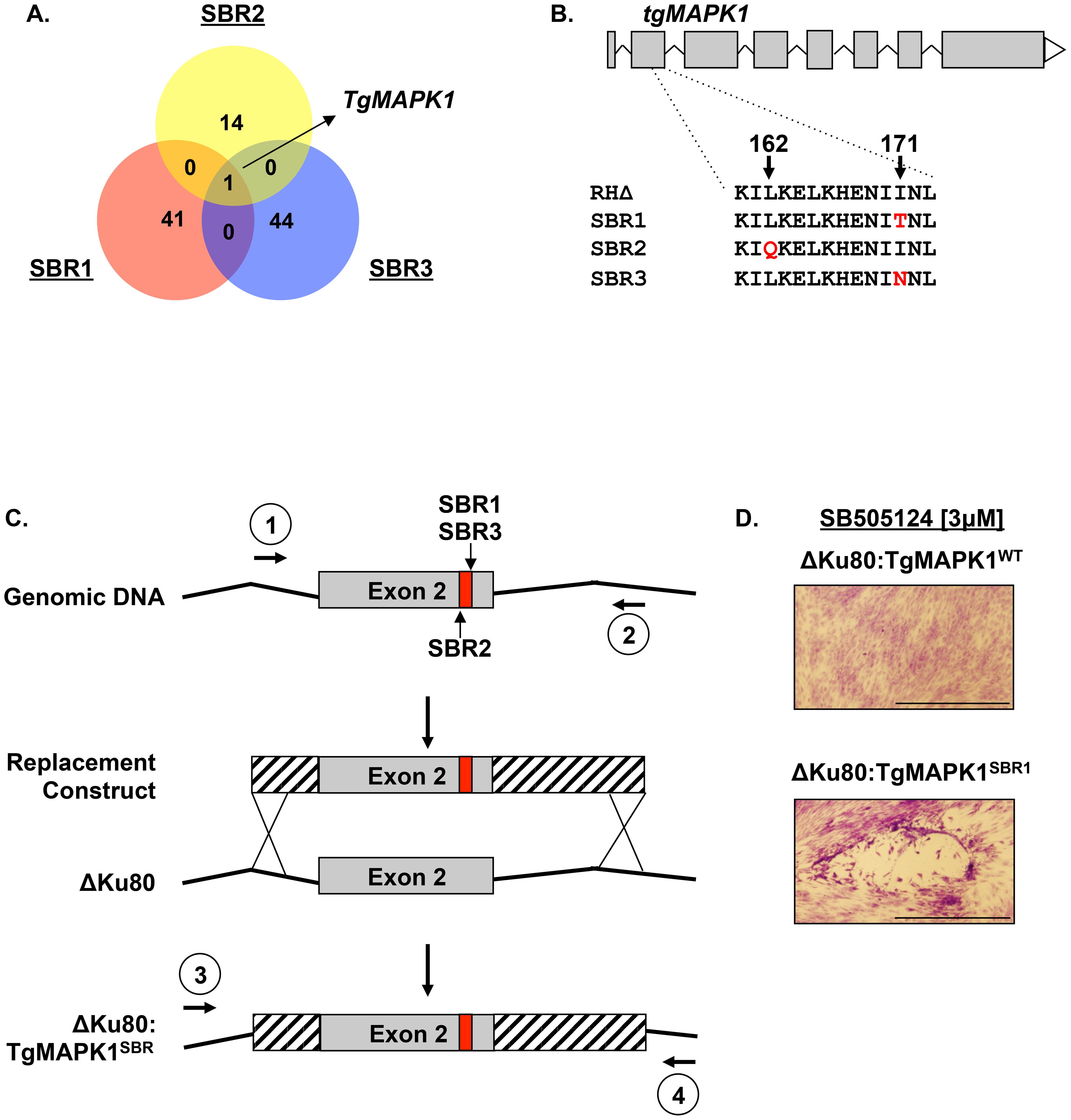 TgMAPK1 is an SBR gene.
