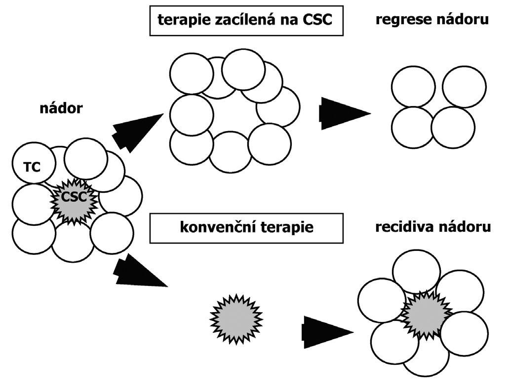 Odpověď nádoru na použitou terapii dle teorie CSC