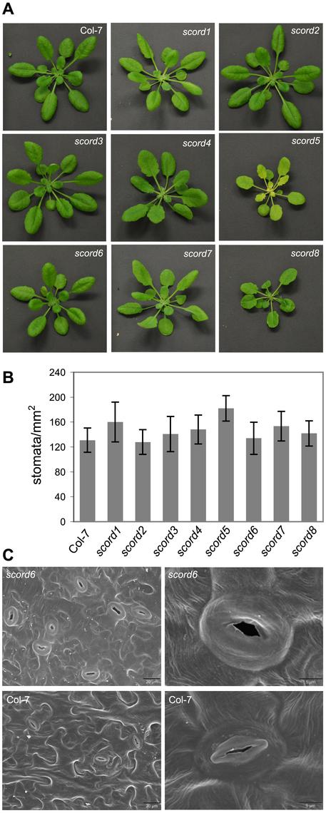 Morphological phenotypes of <i>scord</i> mutants of 4 to 5 weeks old.