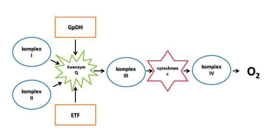 Současná představa elektrontrasportního konvergentního systému na vnitřní mitochondriální membráně GpDH – glukóza-6-fosfát dehydrogenáza; komplex I – NADH-Q reduktáza; komplex II – sukcinát-Q reduktáza; komplex III – cytochrom reduktáza; komplex IV – cytochrom oxidáza; ETF – electron-transporting flavoprotein