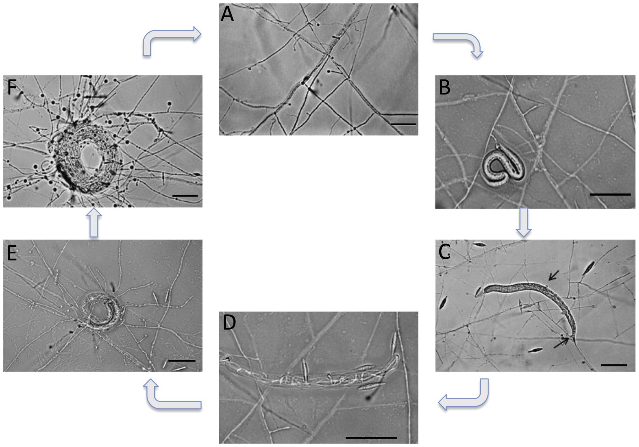 Life cycle of the nematode-trapping fungus <i>M. haptotylum</i>.