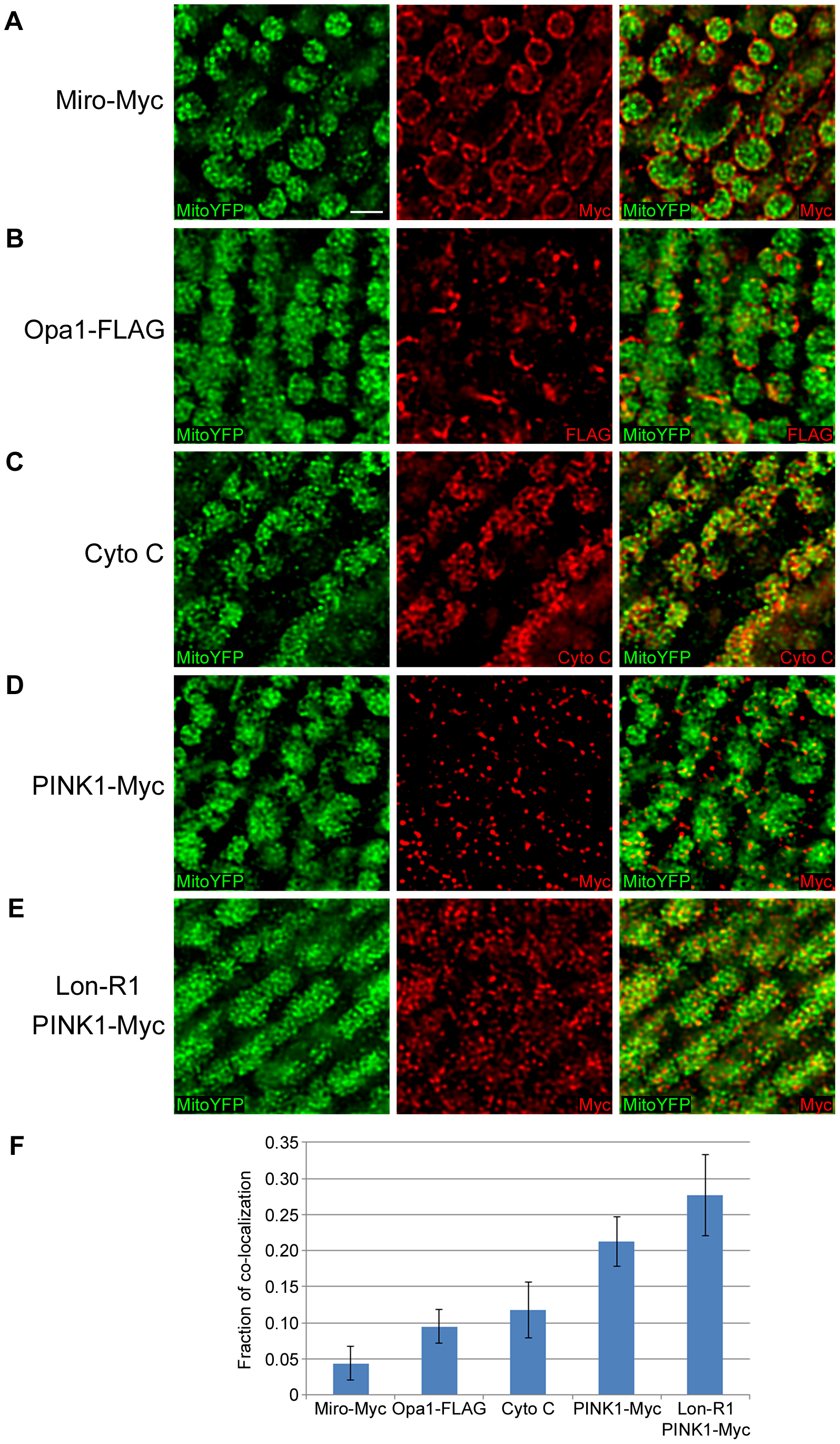 PINK1 accumulates in the mitochondrial matrix upon knockdown of Lon.