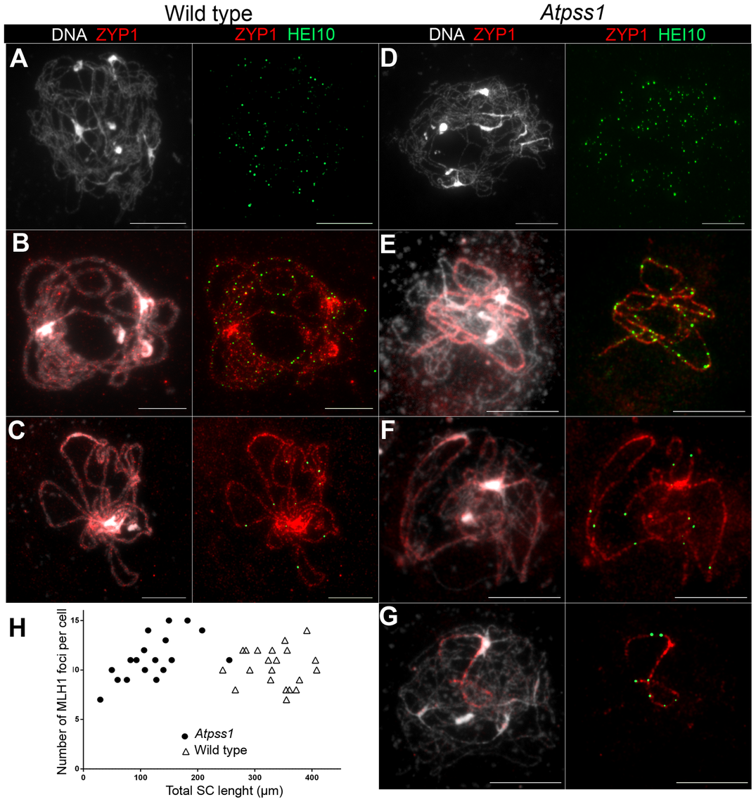 Co-immunolocalization of HEI10 and ZYP1.