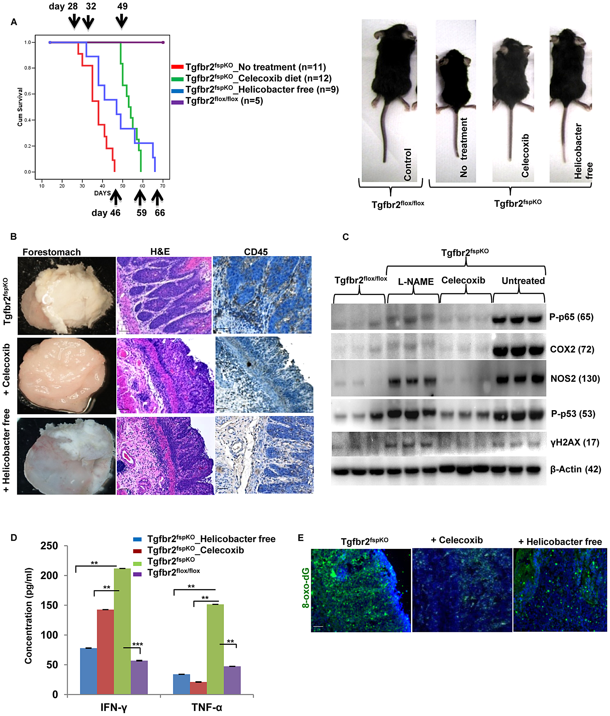 Anti-inflammation delays SCC development and prolongs survival of Tgfbr2<sup>fspKO</sup> mice.