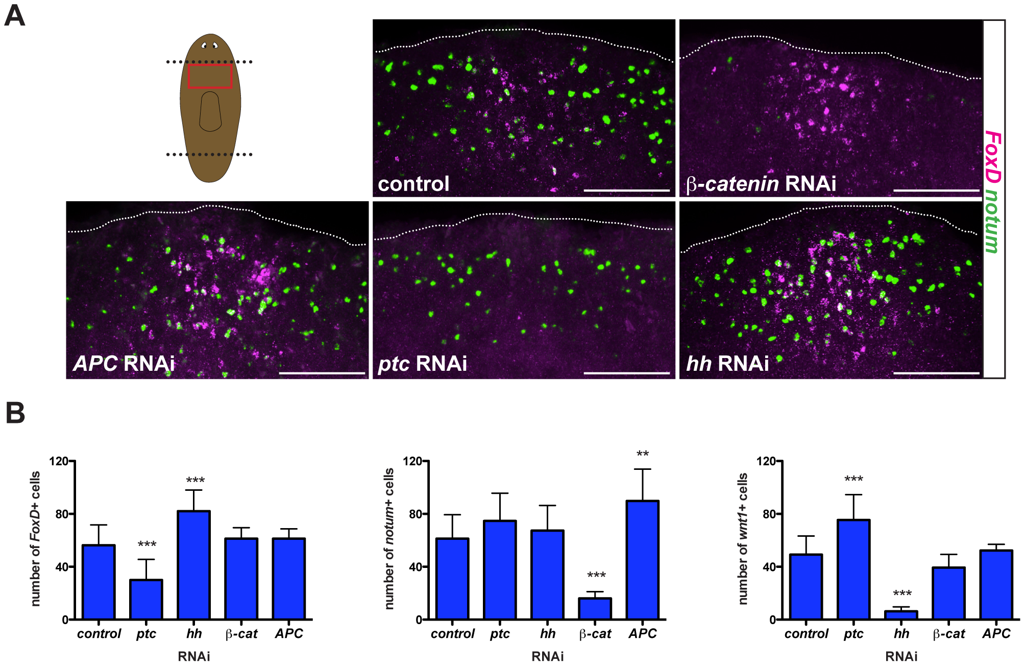 Hh signaling is required for wound-induced <i>FoxD</i> expression.