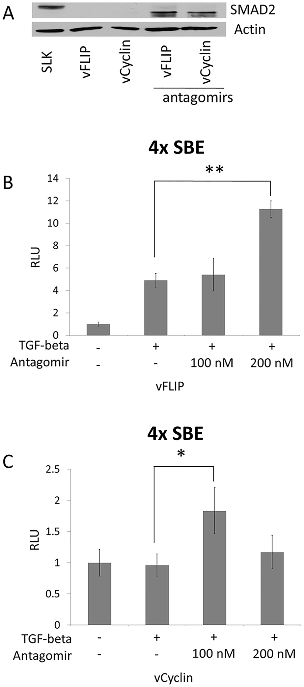 SMAD2 expression and the response to TGF-β were restored by antagomir against the miR-17, 18a, and 20.