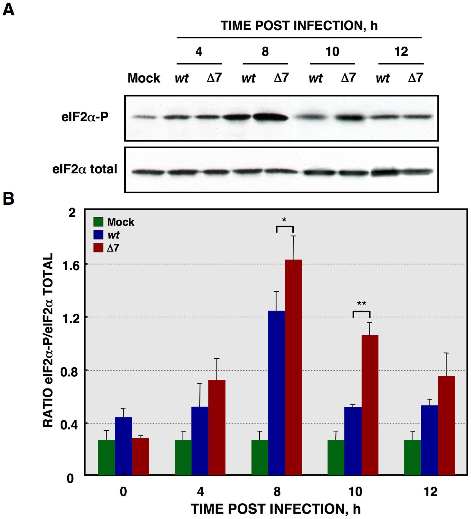 eIF2α phosphorylation during rTGEV infection.