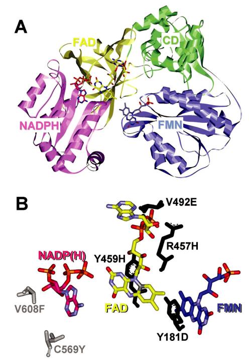 Struktura krysí NADPH-cytochrom P450 oxidoreduktázy vykazující 95% sekvenční identitu s lidskou CYPOR Panel A – stužkový diagram terciární struktury CYPOR s vyznačeným N a C koncem.  FMN-vážící doména je označená modře, spojující doména je označená zeleně, FAD-vážící doména je označená žlutě a NADPH-vážící doména je označena růžově Panel B – polymorfizmy nacházející se v blízkosti FMN, FAD a NADPH jsou znázorněné v pevné konfiguraci. Varianty 1 až 4 (černě) korelují s těžkými mutacemi způsobujícími ABS, zatímco 5–6 (sivě) korelují s lehčími mutacemi vedoucími ke poruše v steroidogenezi (22, 25)