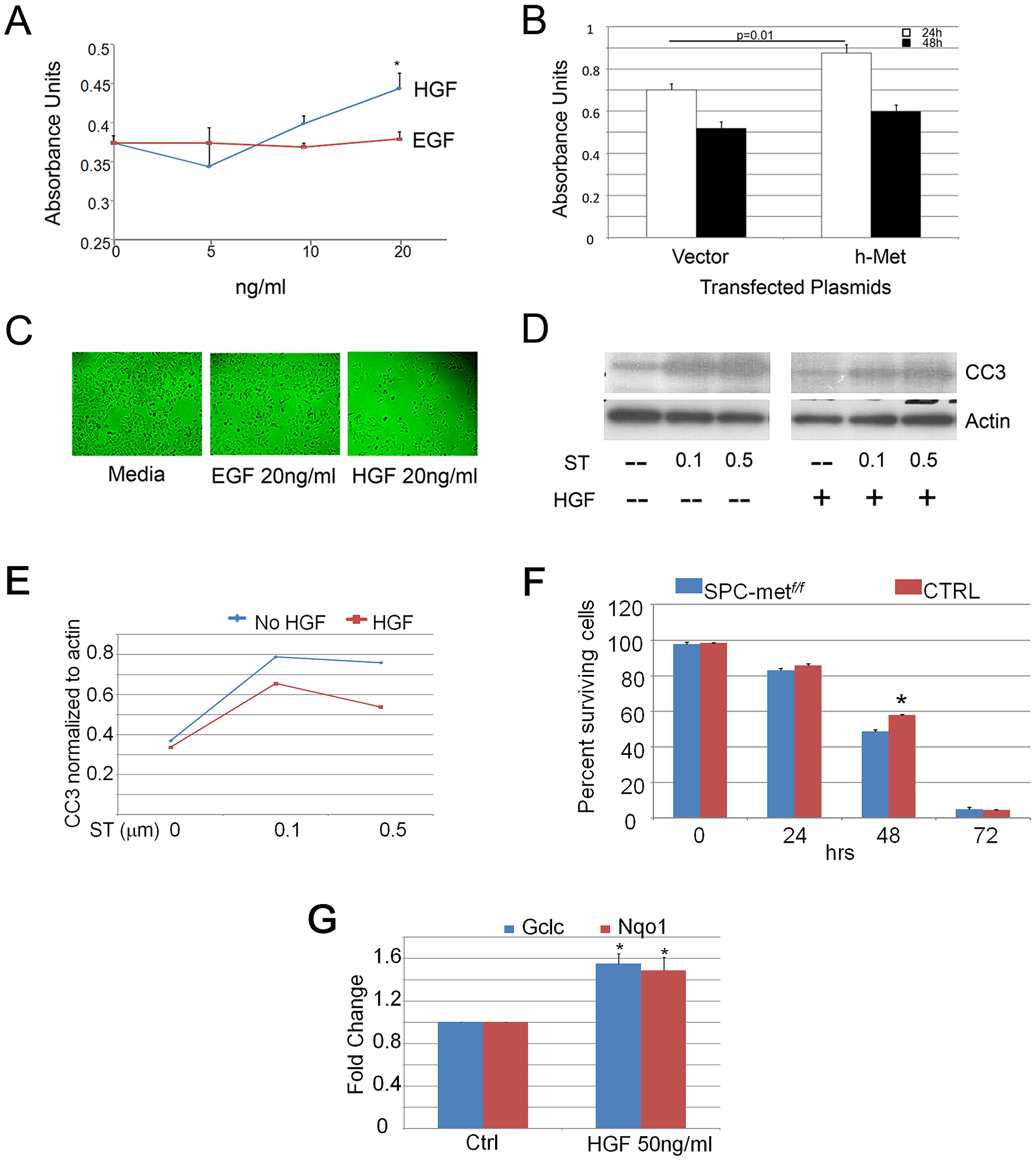 HGF signaling induces proliferation and scattering of MLE12 cells.