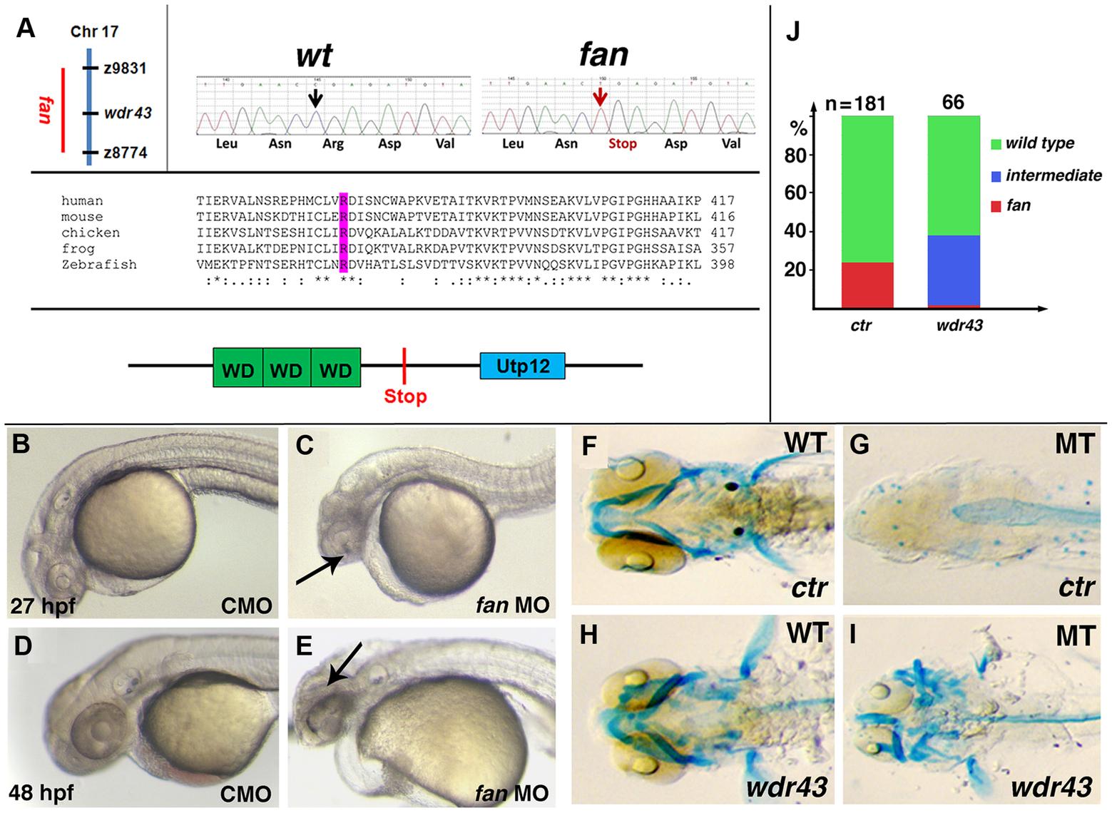 <i>fan</i> encodes zebrafish Wdr43/Utp5.