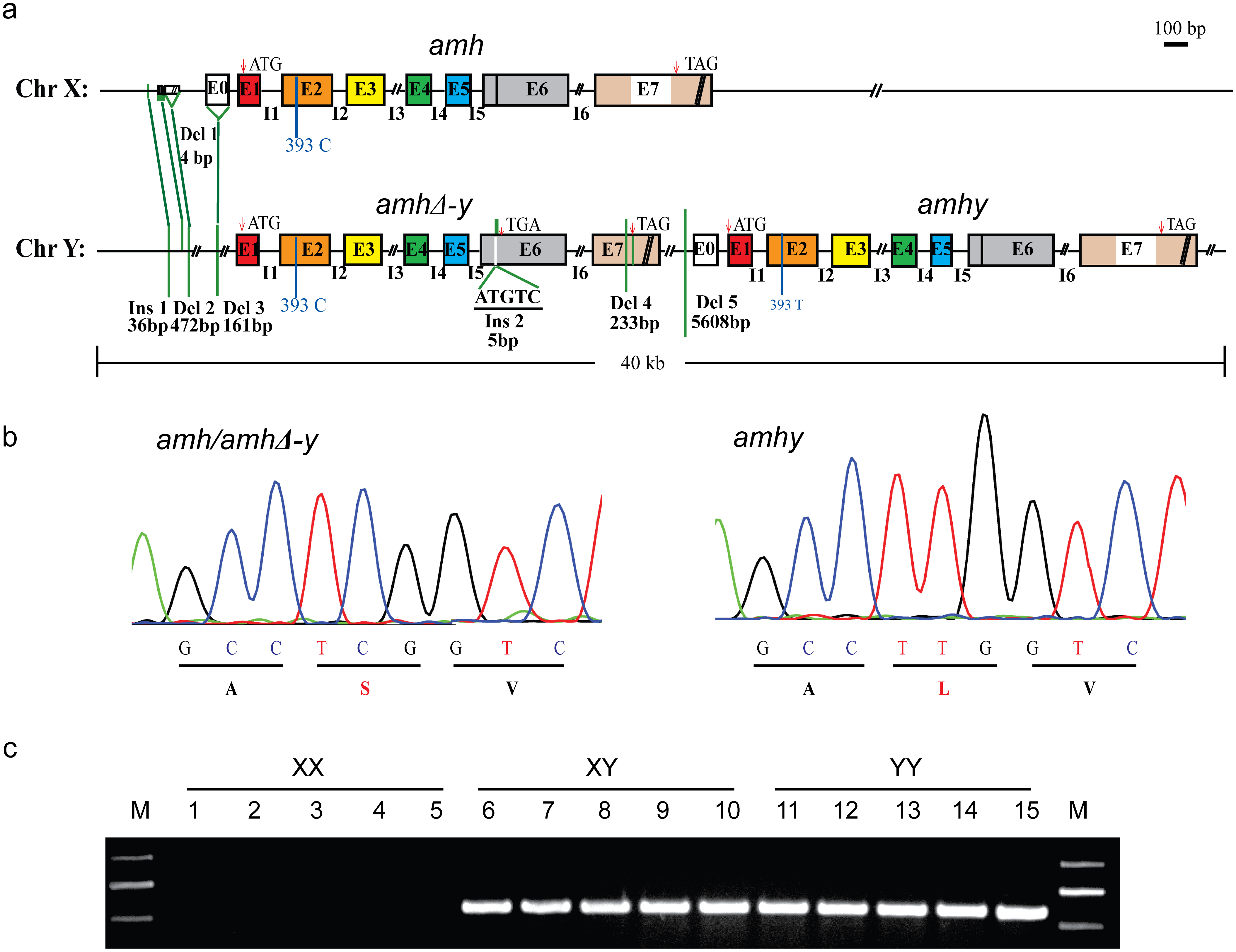 Schematic representation of <i>amh/amhΔ-y/amhy</i> gene structure on the Y and X chromosome.