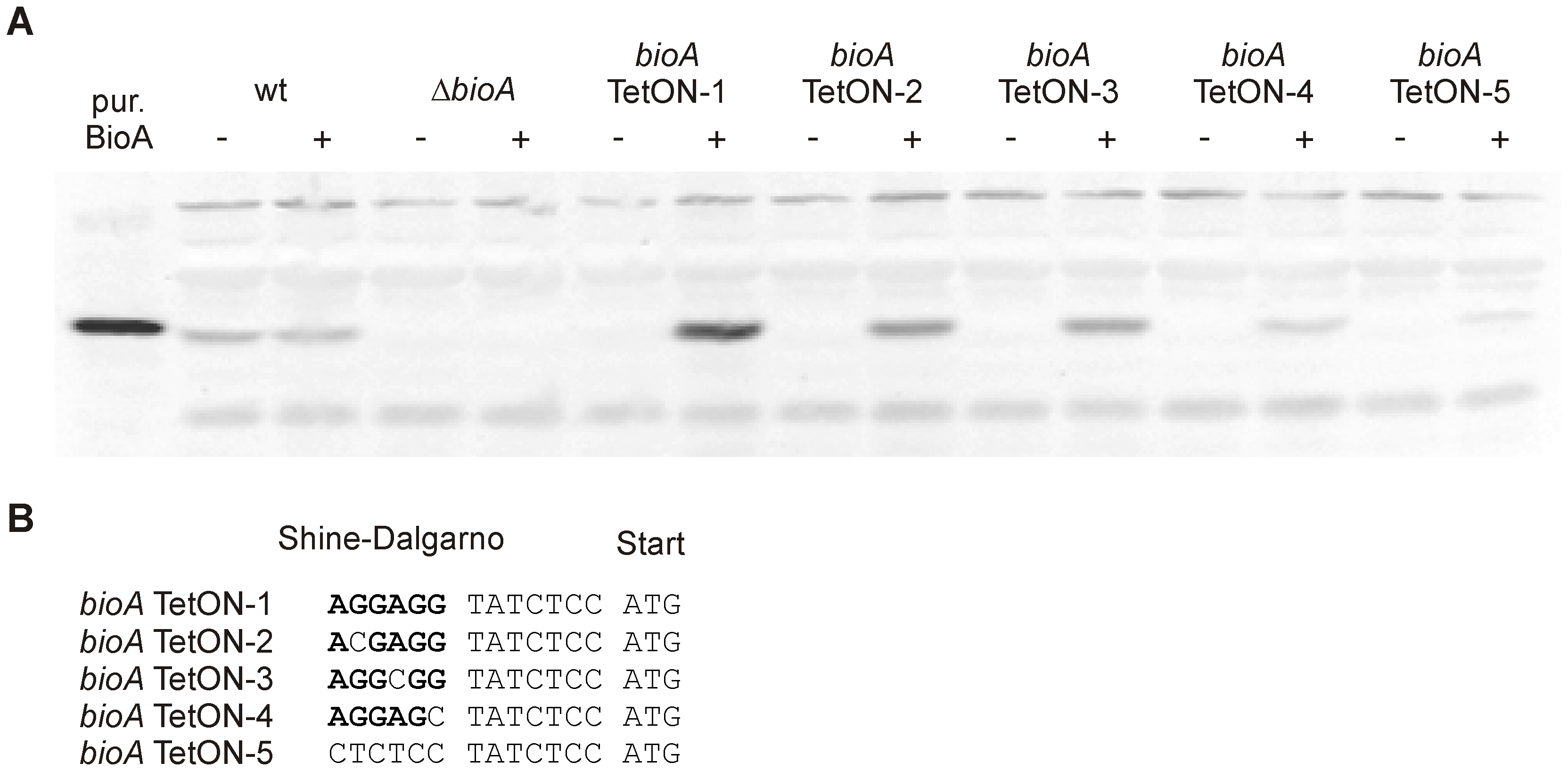 BioA protein levels of wt <i>Mtb</i>, <i>ΔbioA</i>, and <i>bioA</i> TetON mutants.