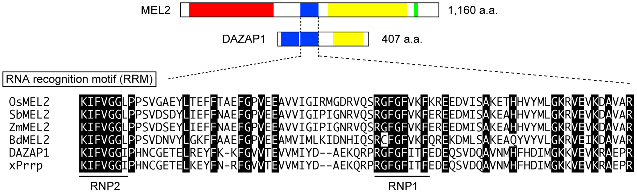 Rice MEL2 is the RRM protein partially homologous to human DAZAP1.