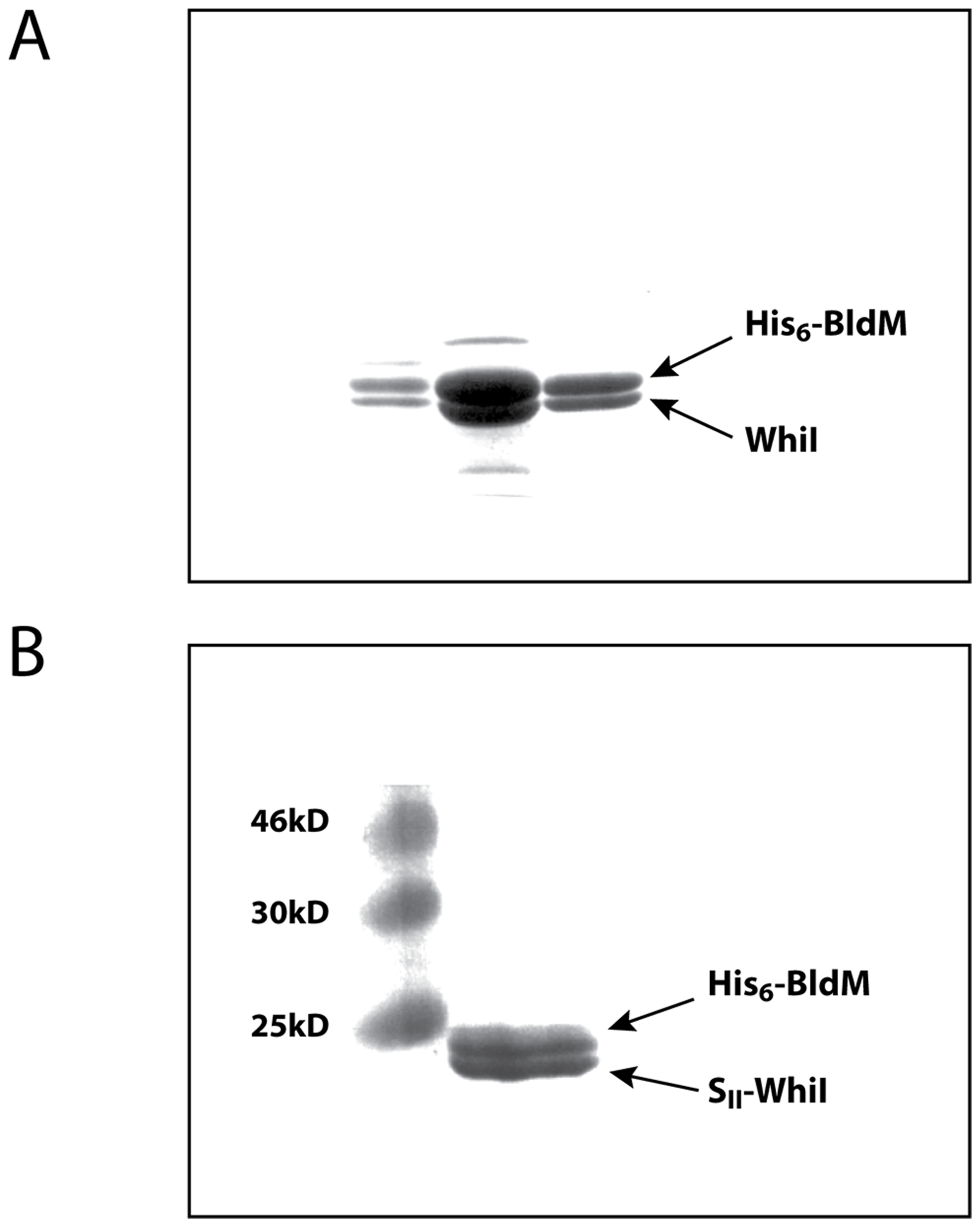 Affinity purification of the BldM-WhiI complex.