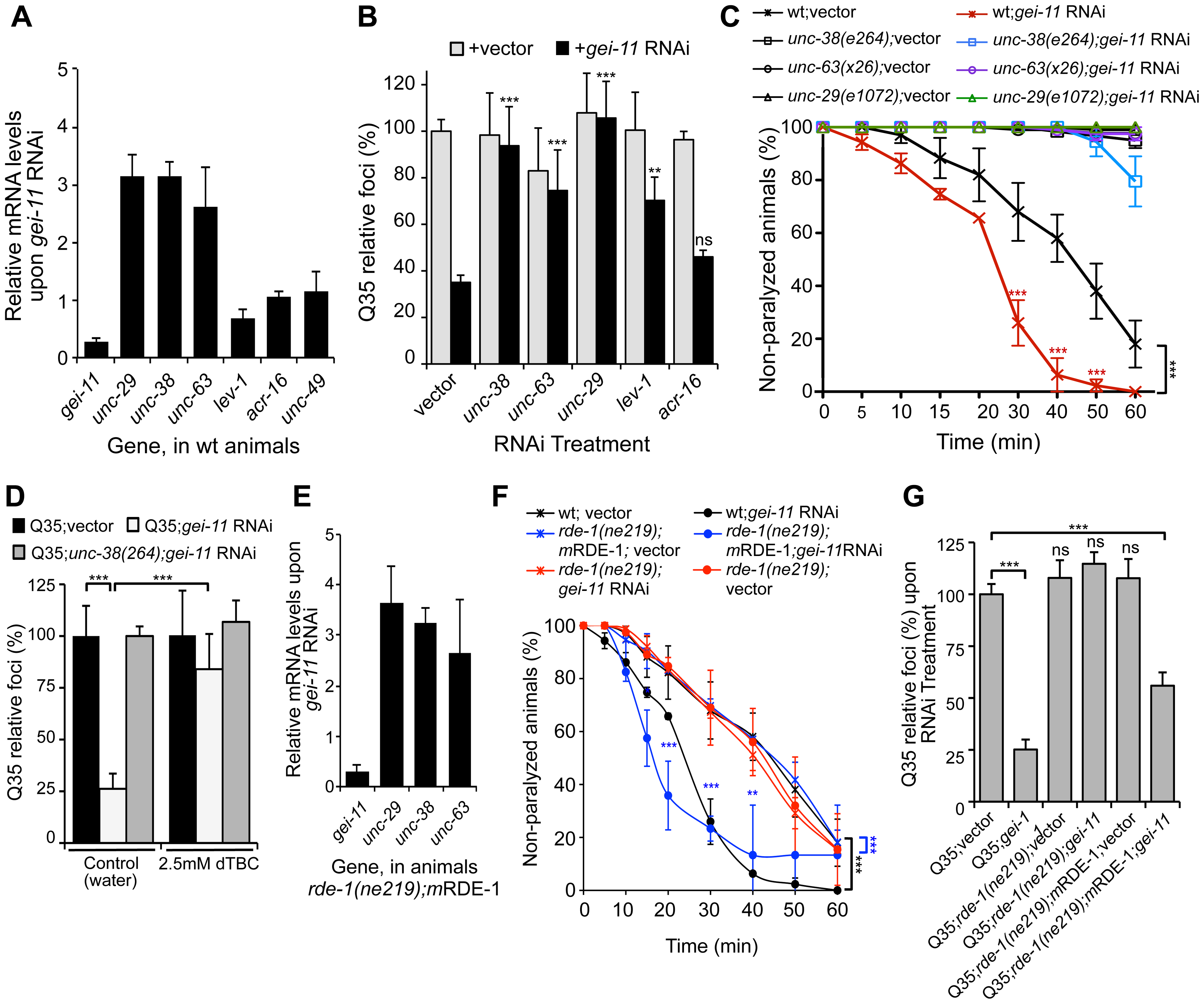 <i>gei-11</i> knockdown effect through regulation of cholinergic receptors at the NMJ.
