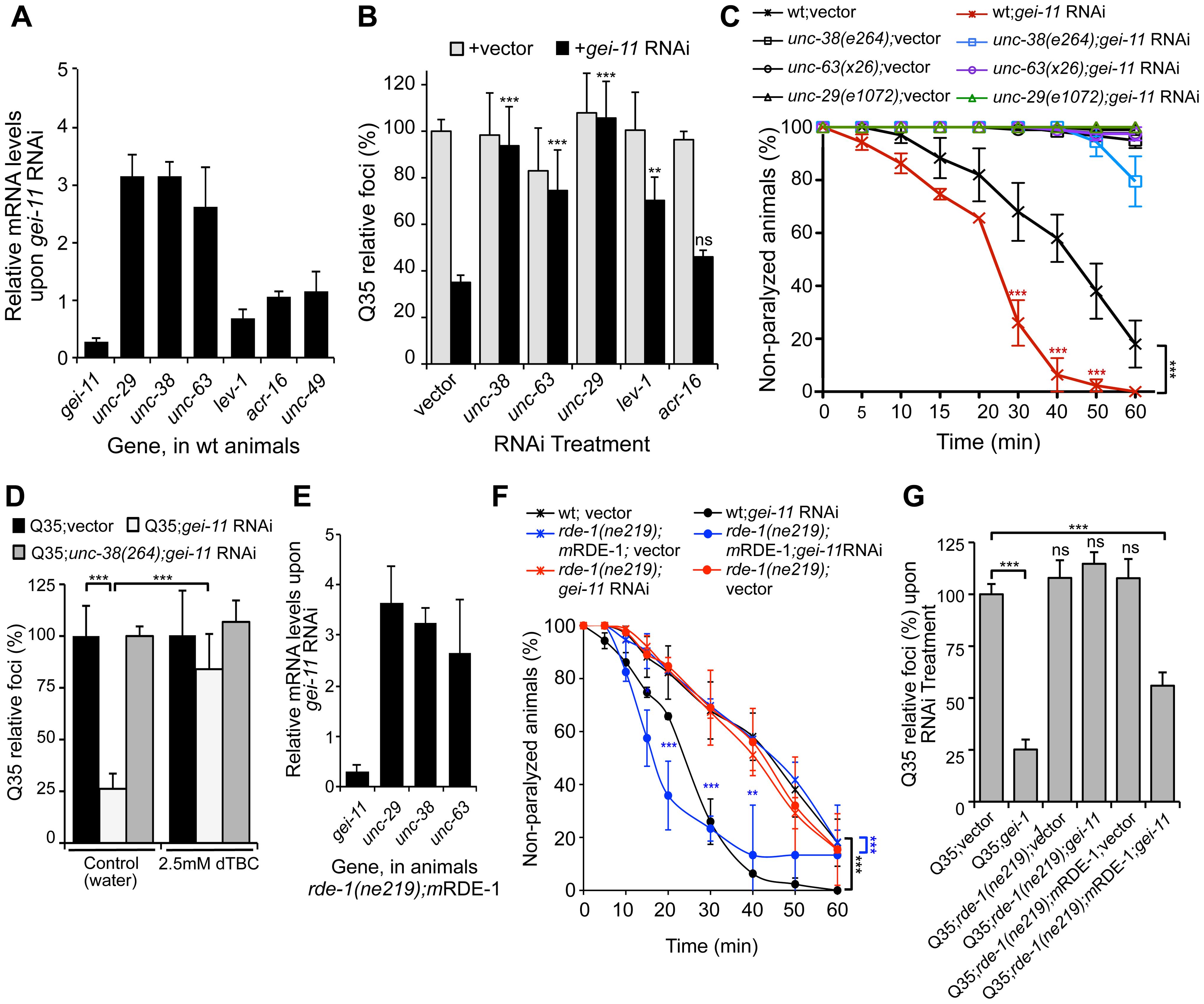 <i>gei-11</i> knockdown effect through regulation of cholinergic receptors at the NMJ.