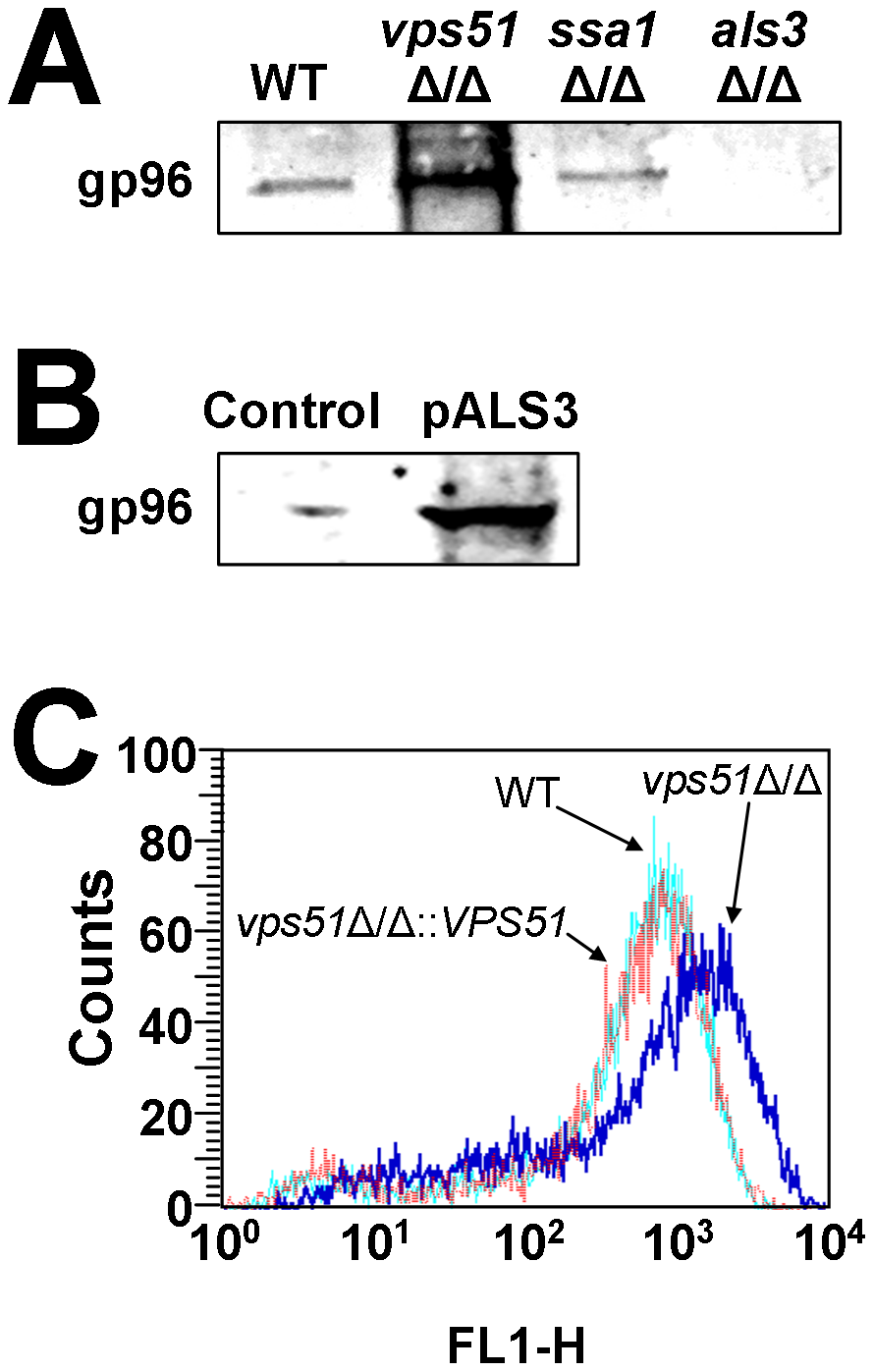 Effects of deletion of <i>VPS51</i>, <i>SSA1</i>, and <i>ALS3</i> on binding to gp96 and fungal surface expression of Als3.