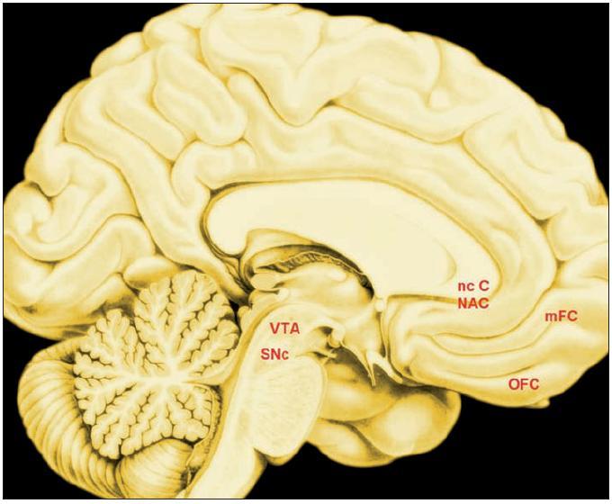 Uzly neuronální sítě, která hodnotí volbu (valuation): vyústění společné projekce (14) Legenda: SNc – pars compacta substantiae nigrae VTA – area tegmentalis ventralis NcC – nucleus caudatus NAC – nucleus accumbens OFC – orbitofrontální kůra mFC – mediální prefrontální kůra