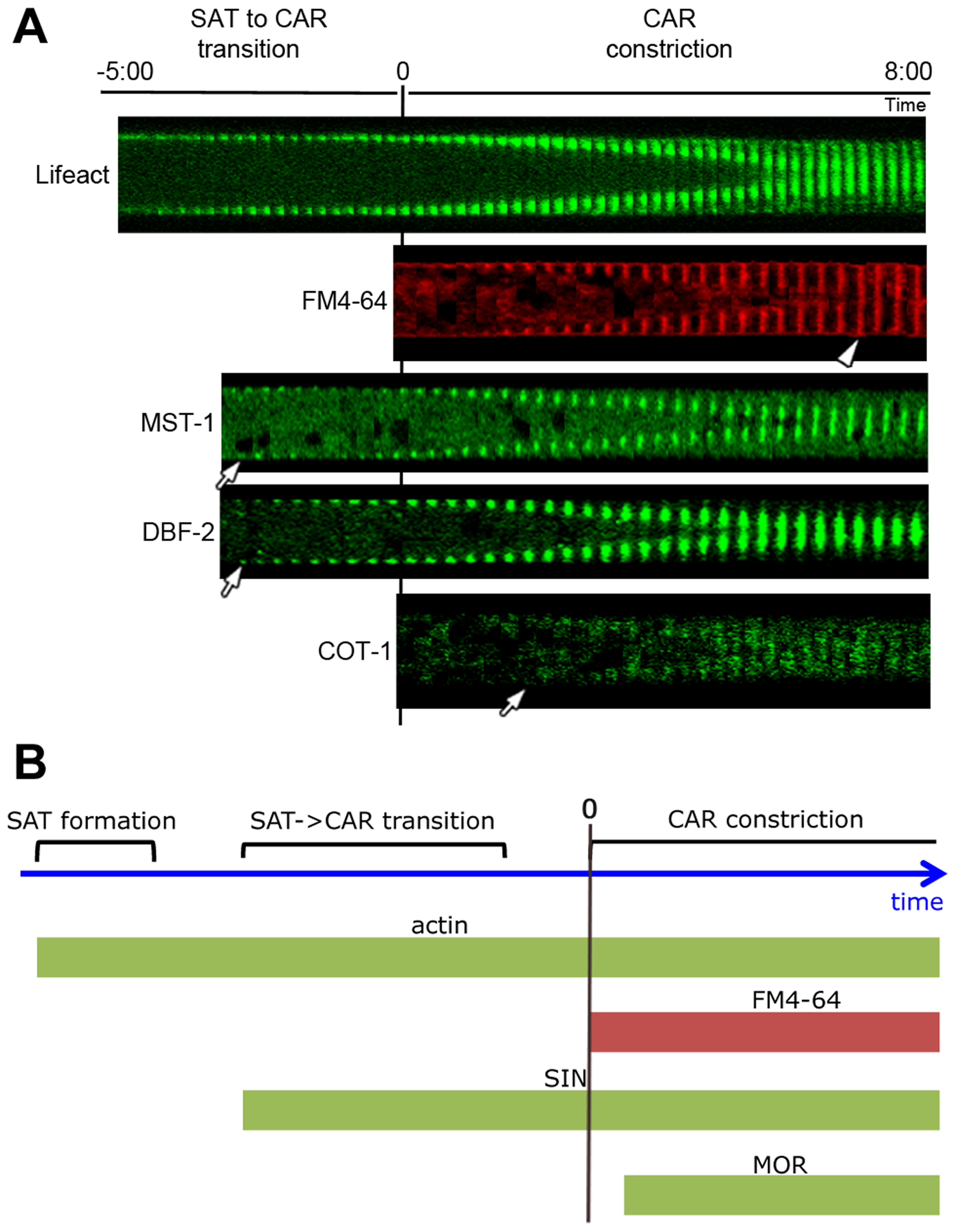 Kinetics of cortex association of SIN and MOR components DBF-2, MST-1 and COT-1 during septum formation.