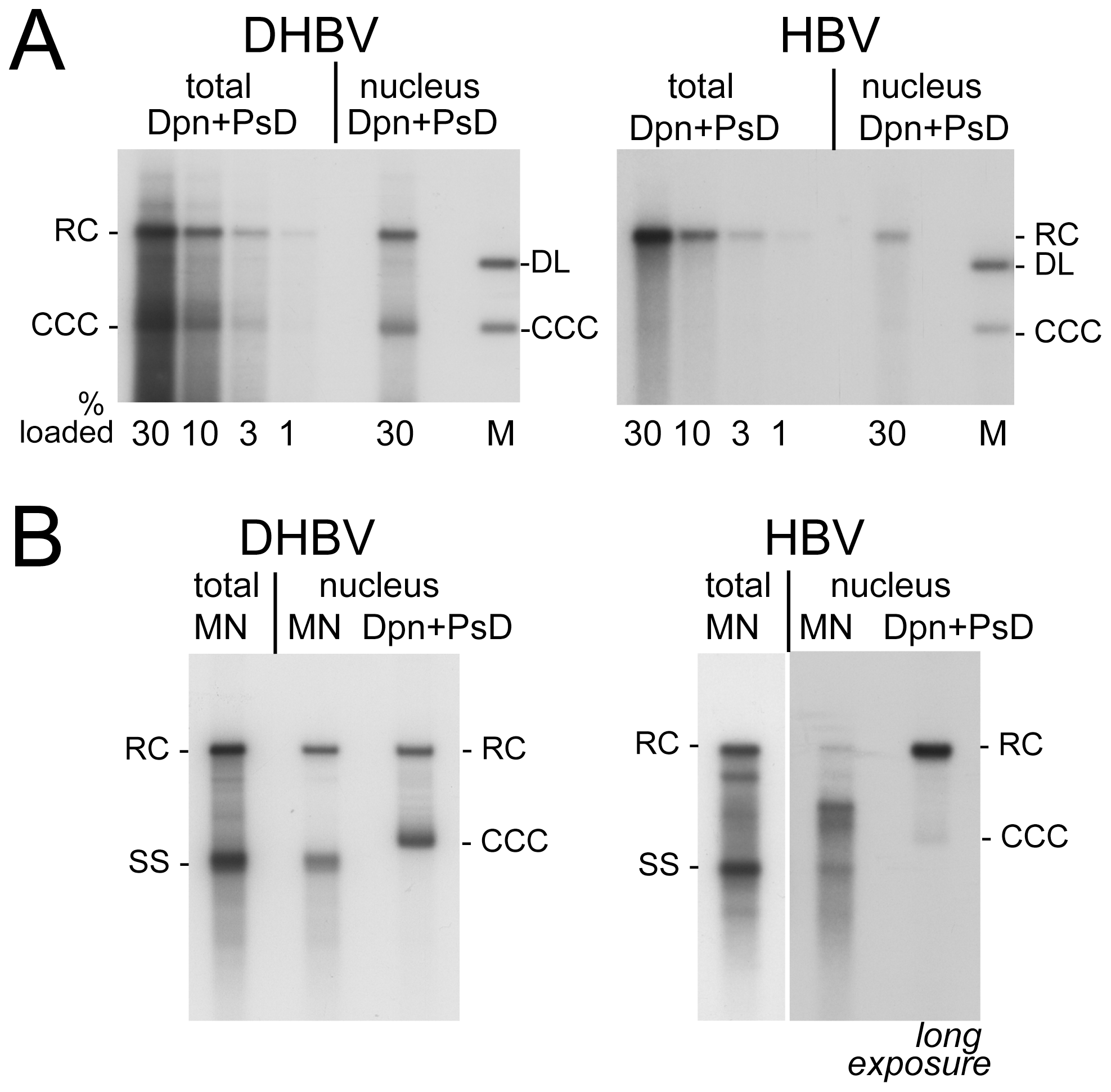 Intracellular distribution and nuclease sensitivity of viral DNAs.